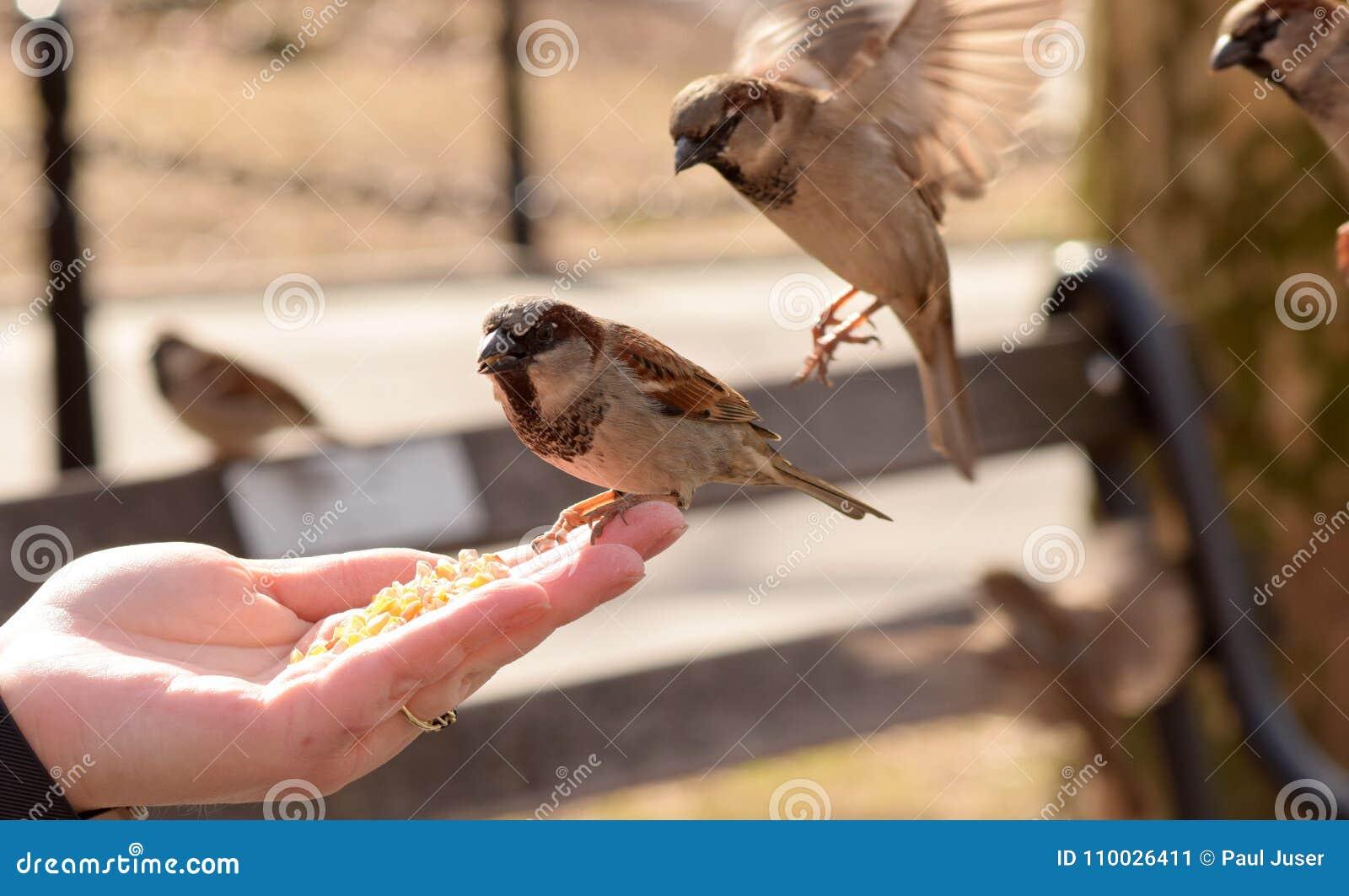 Kleine Bruine Vogels die Graan van een Vrouwen` s Hand eten
