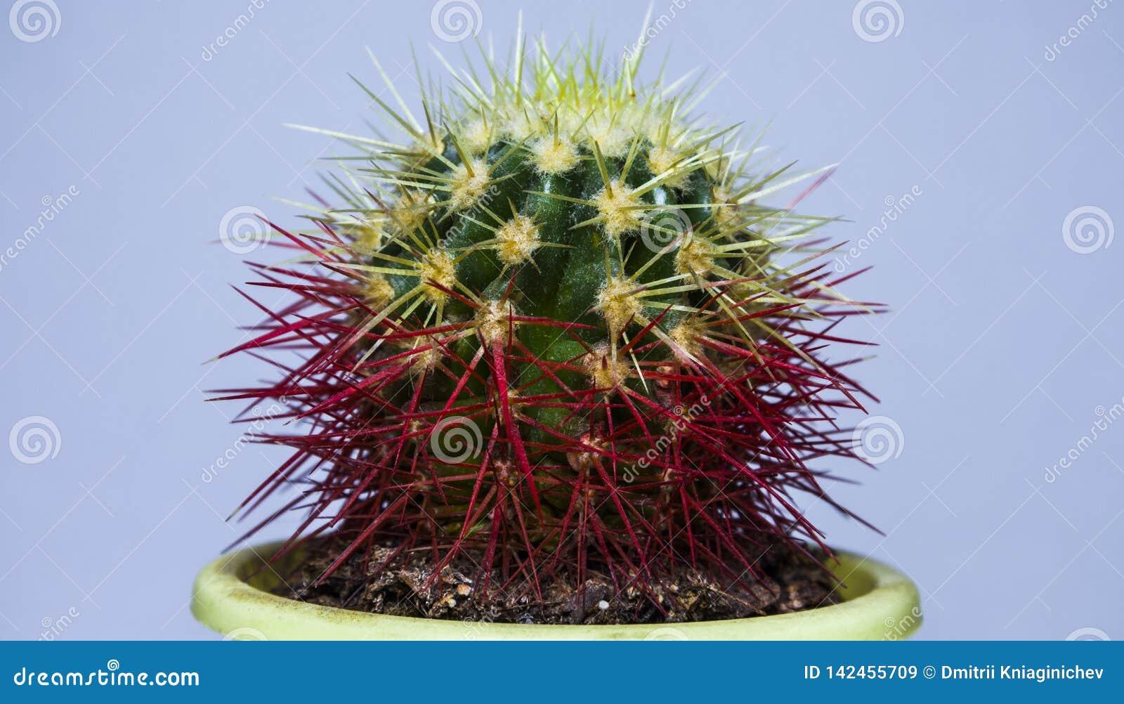 Kleine cactus De mening van de close-up Op een witte achtergrond - Beelden