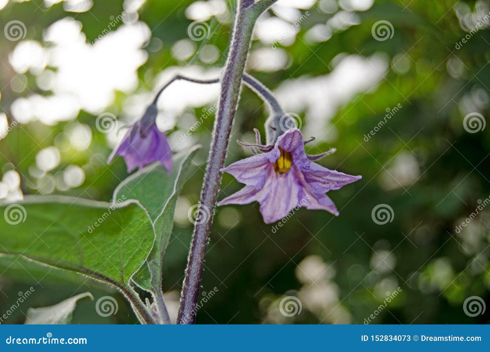 Kleine die aubergine in de serre wordt gekweekt
