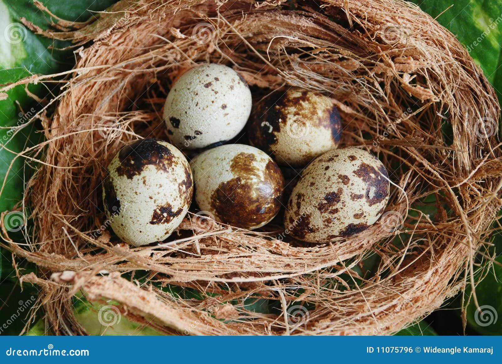 kleine eier im nest stockfoto bild von wald nest. Black Bedroom Furniture Sets. Home Design Ideas
