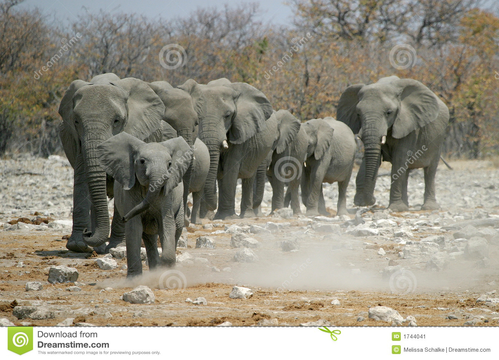 Kleine Elefanten, Welche Die Herde Führen Stockbild - Bild: 1744041   {Herde 35}