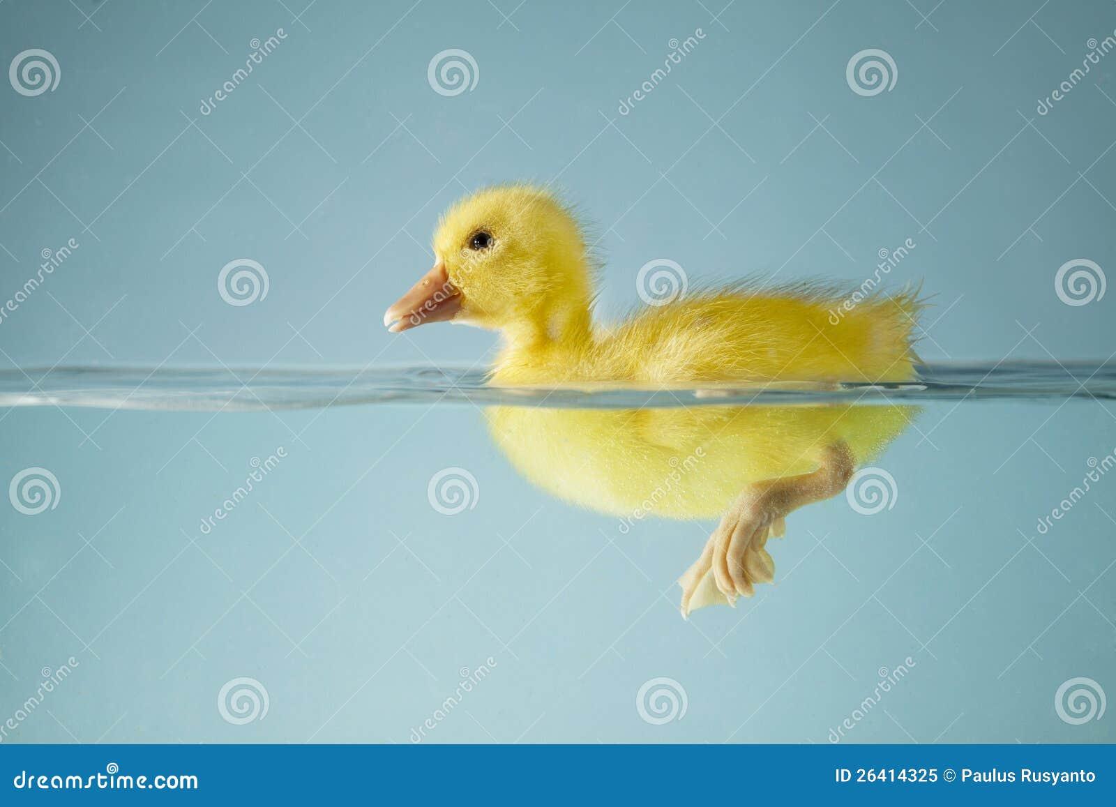 Kleine Ente, die auf Wasser schwimmt