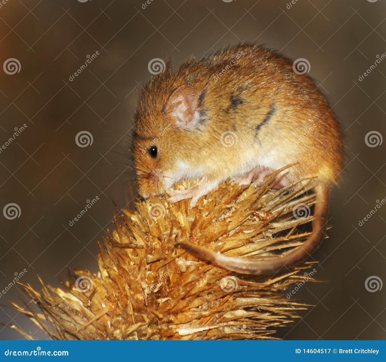 Kleine Ernte-Maus