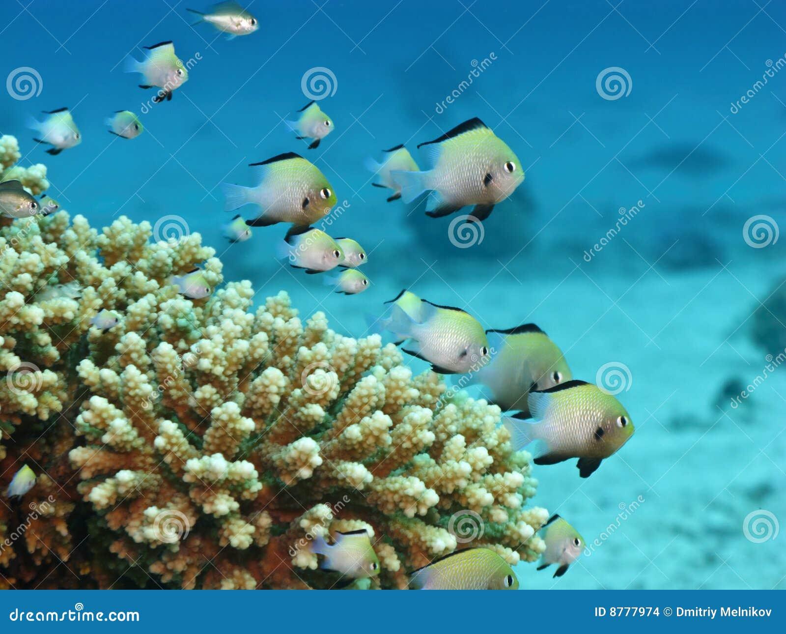Kleine fische auf korallenriff stockbilder bild 8777974 for Kleine fische