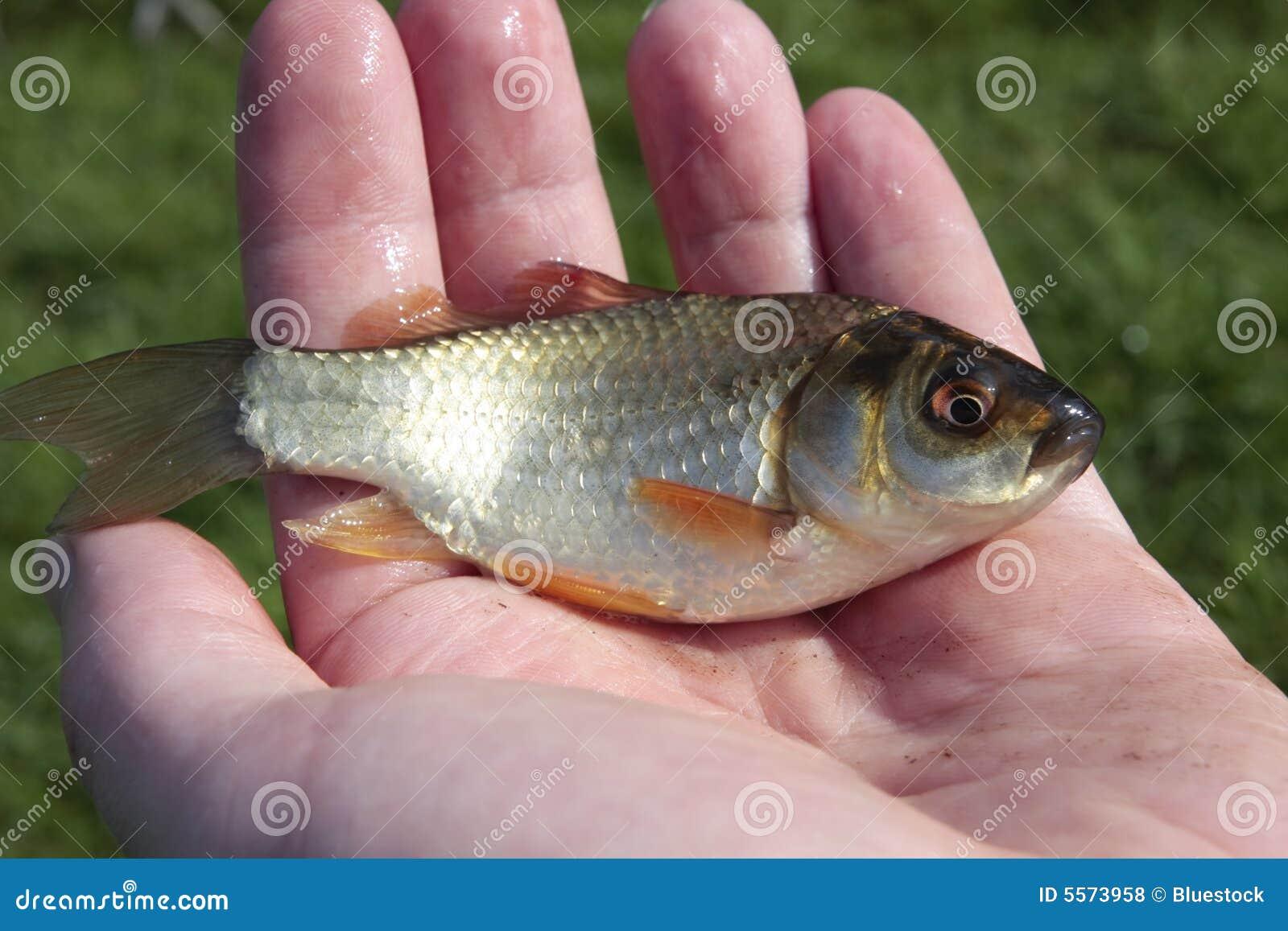 Kleine fische in der hand des mannes lizenzfreie for Kleine fische