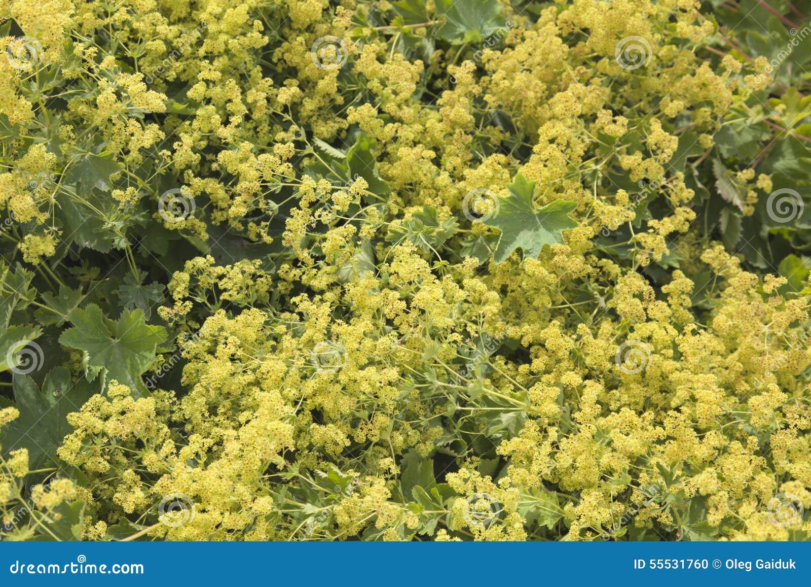 kleine gelbe blumen stockfoto bild von botanisch garten. Black Bedroom Furniture Sets. Home Design Ideas