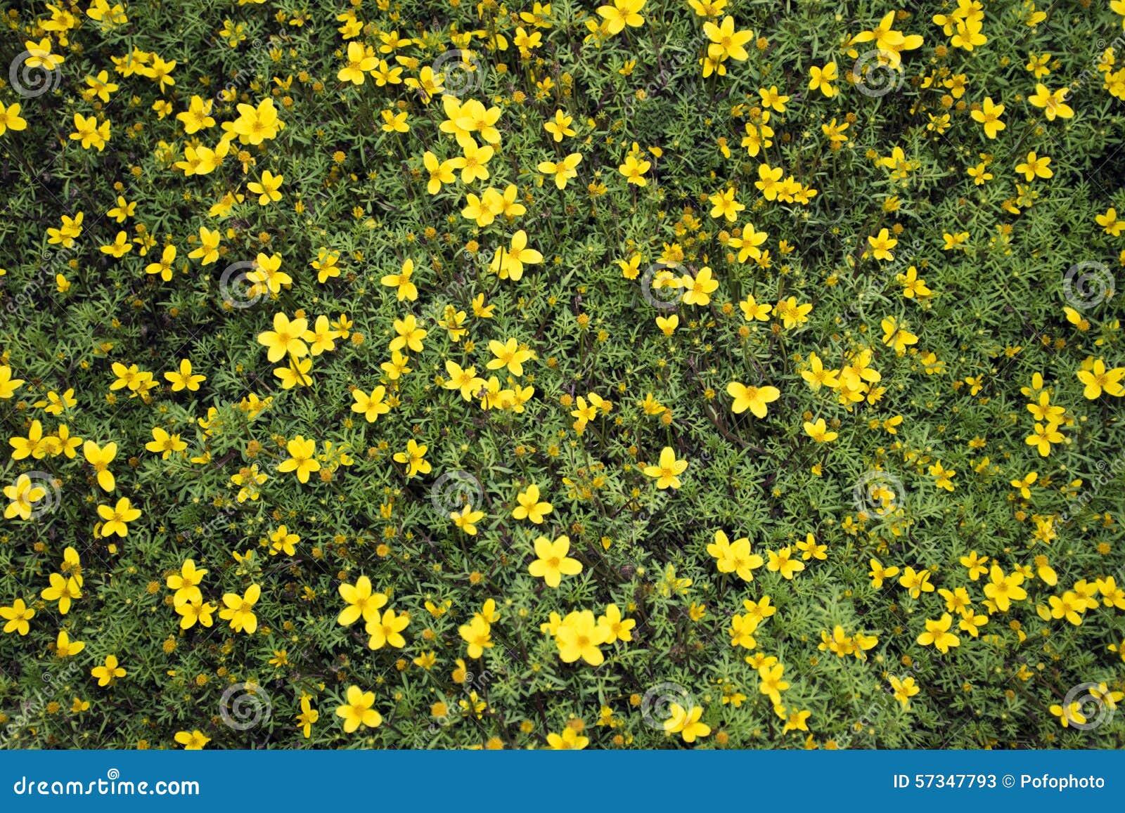 kleine gelbe blumen stockfoto bild 57347793. Black Bedroom Furniture Sets. Home Design Ideas