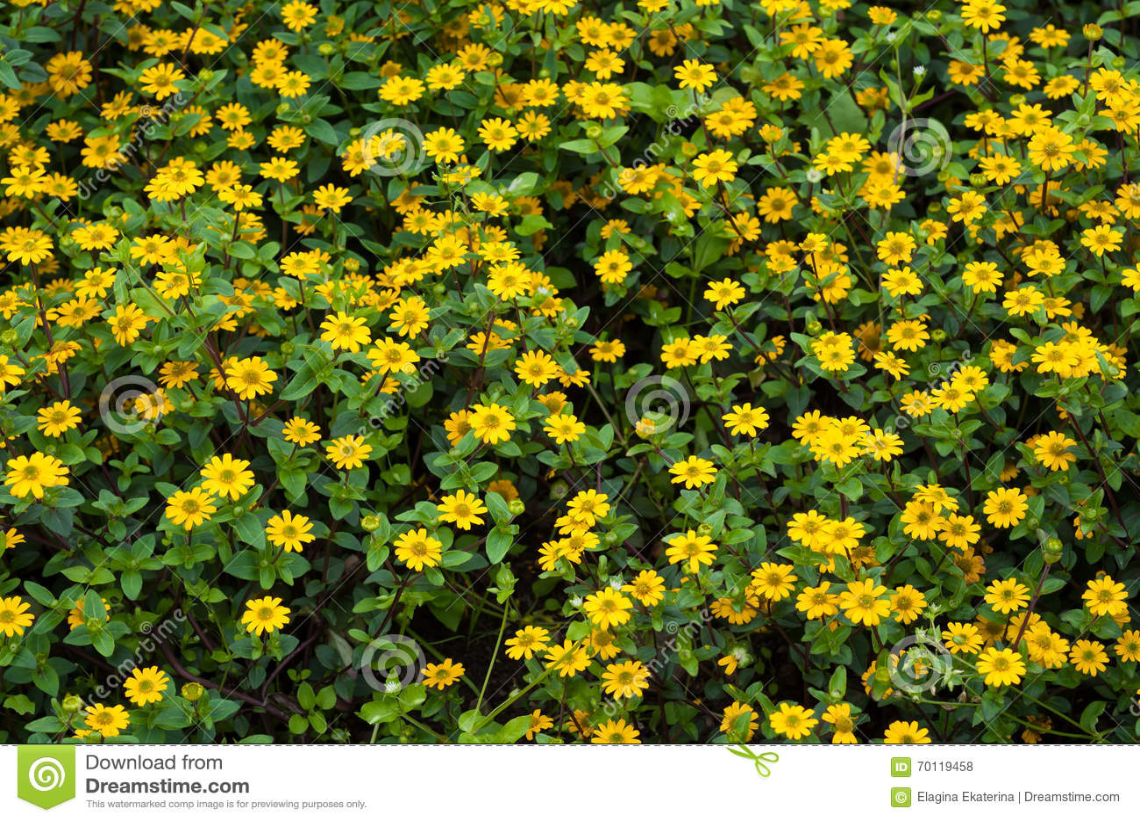 kleine gelbe blumen mit gr nen bl ttern stockfoto bild 70119458. Black Bedroom Furniture Sets. Home Design Ideas