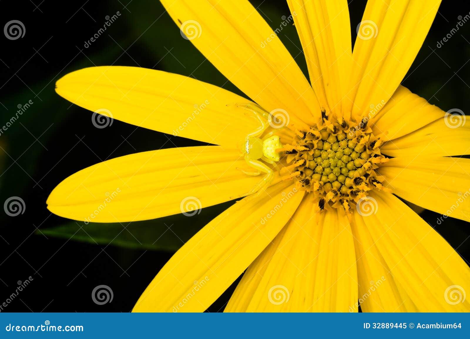 kleine gelbe spinne auf der mexikanischen sonnenblume. Black Bedroom Furniture Sets. Home Design Ideas