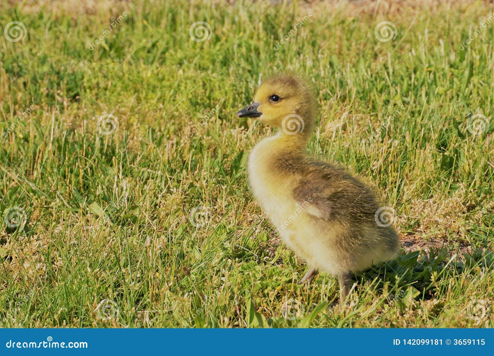 Kleine gele Canadese gans elegante status in het groene gras De mening van de close-up