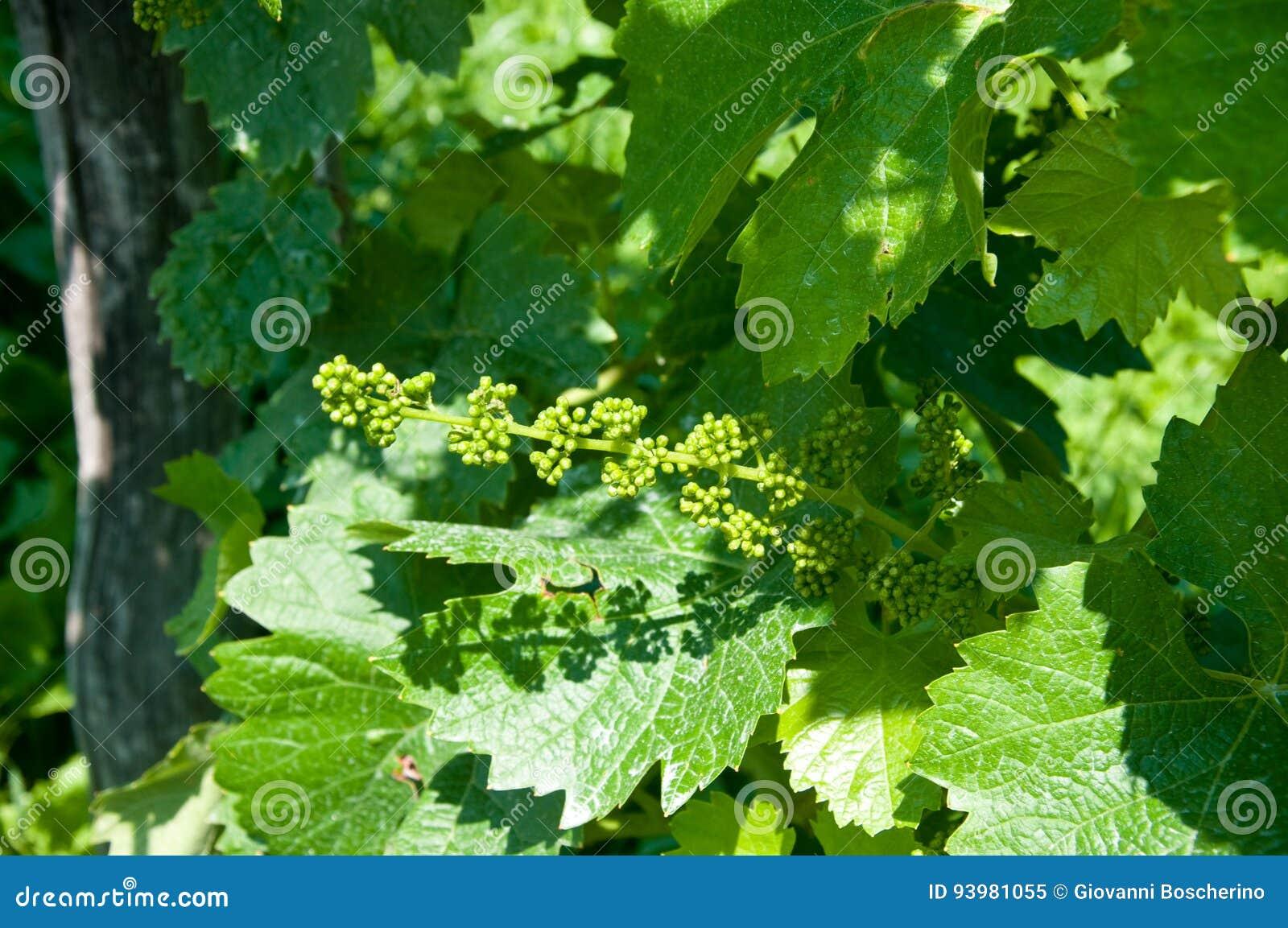 Kleine groene proseccobossen in Italië dichtbij valdobbiadene