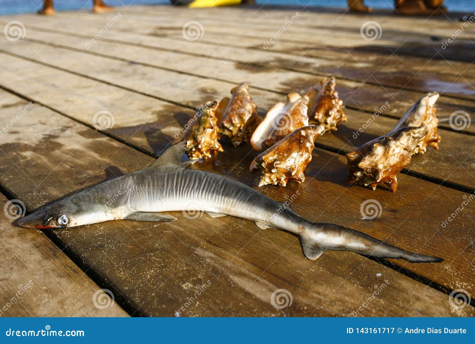 Kleine haai en overzeese kroonslak