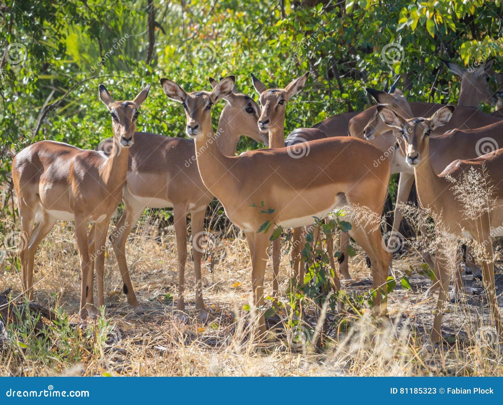 Kleine Herde von weiblichen Impalaantilopen in der Baumsavannenumwelt, die ruhig und in Moremi NP, Botswana ruhig schaut