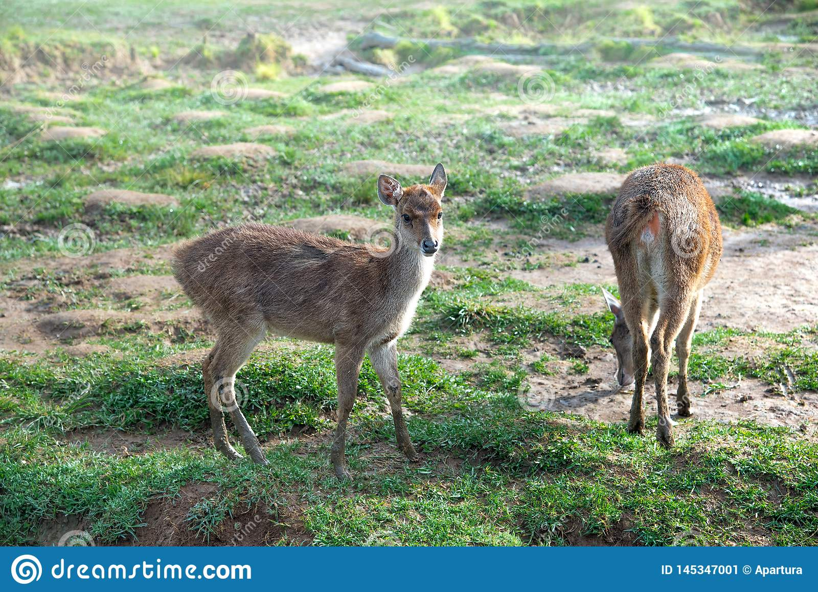 Kleine Herten of Damhinde op Groene Weiland of Weide of Weide in Misty Morning During Sunrise Het Hert is zonder Geweitakken