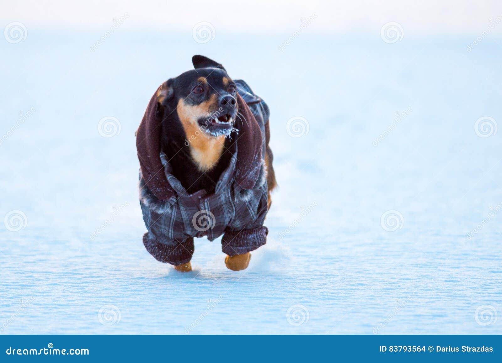 Kleine hond in de winter met kleren