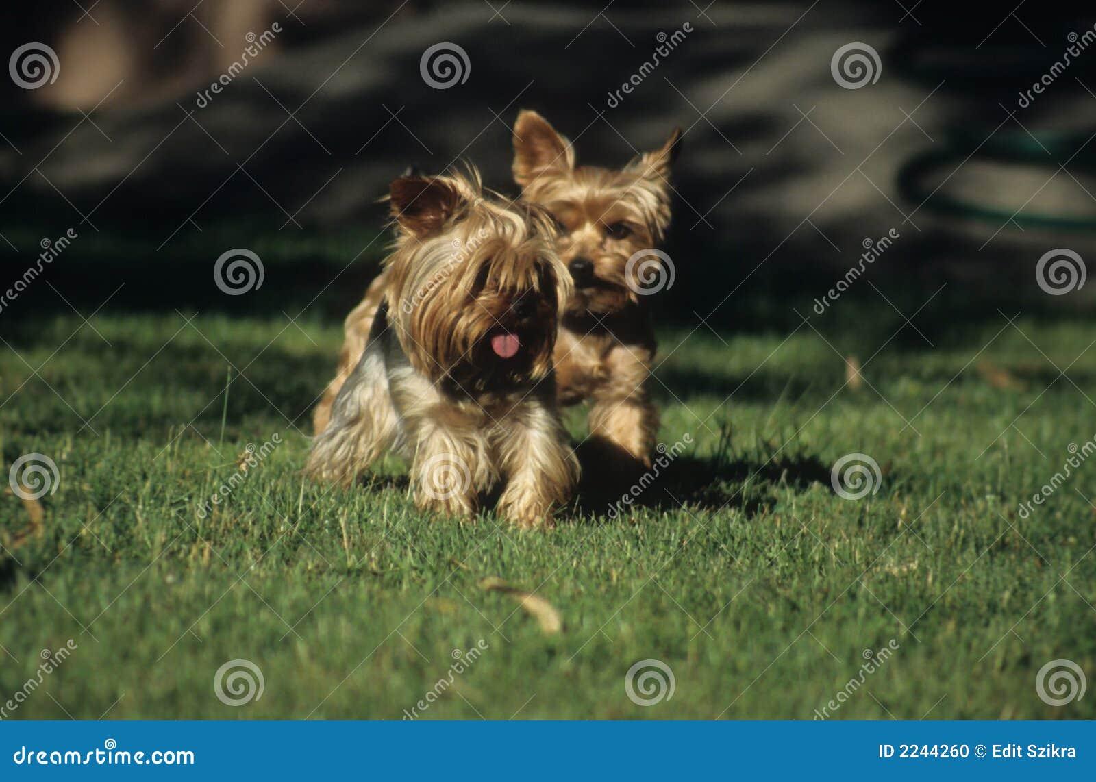 Soorten Honden Klein Kleine Honden