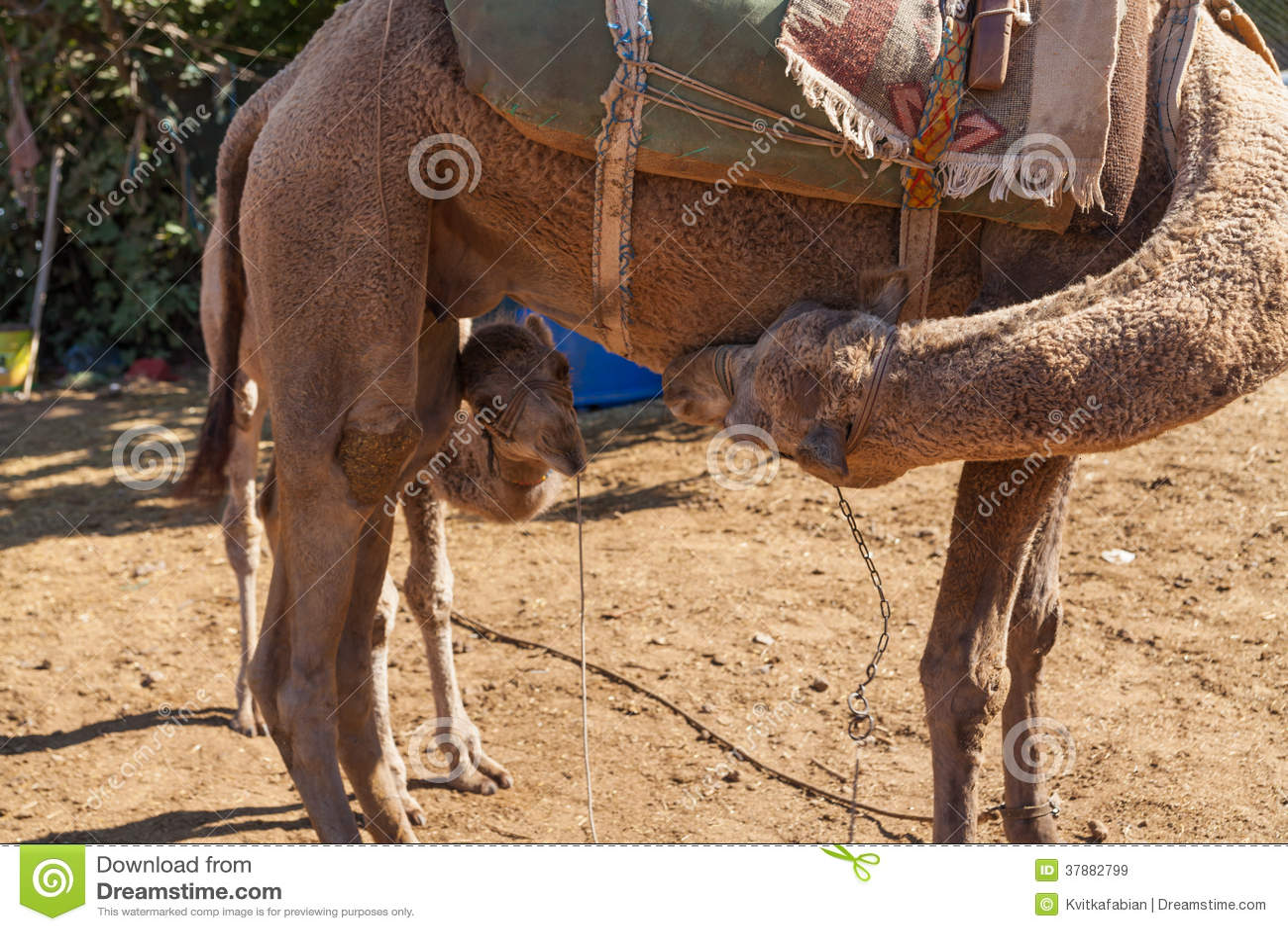 Kleine kameel met haar moeder