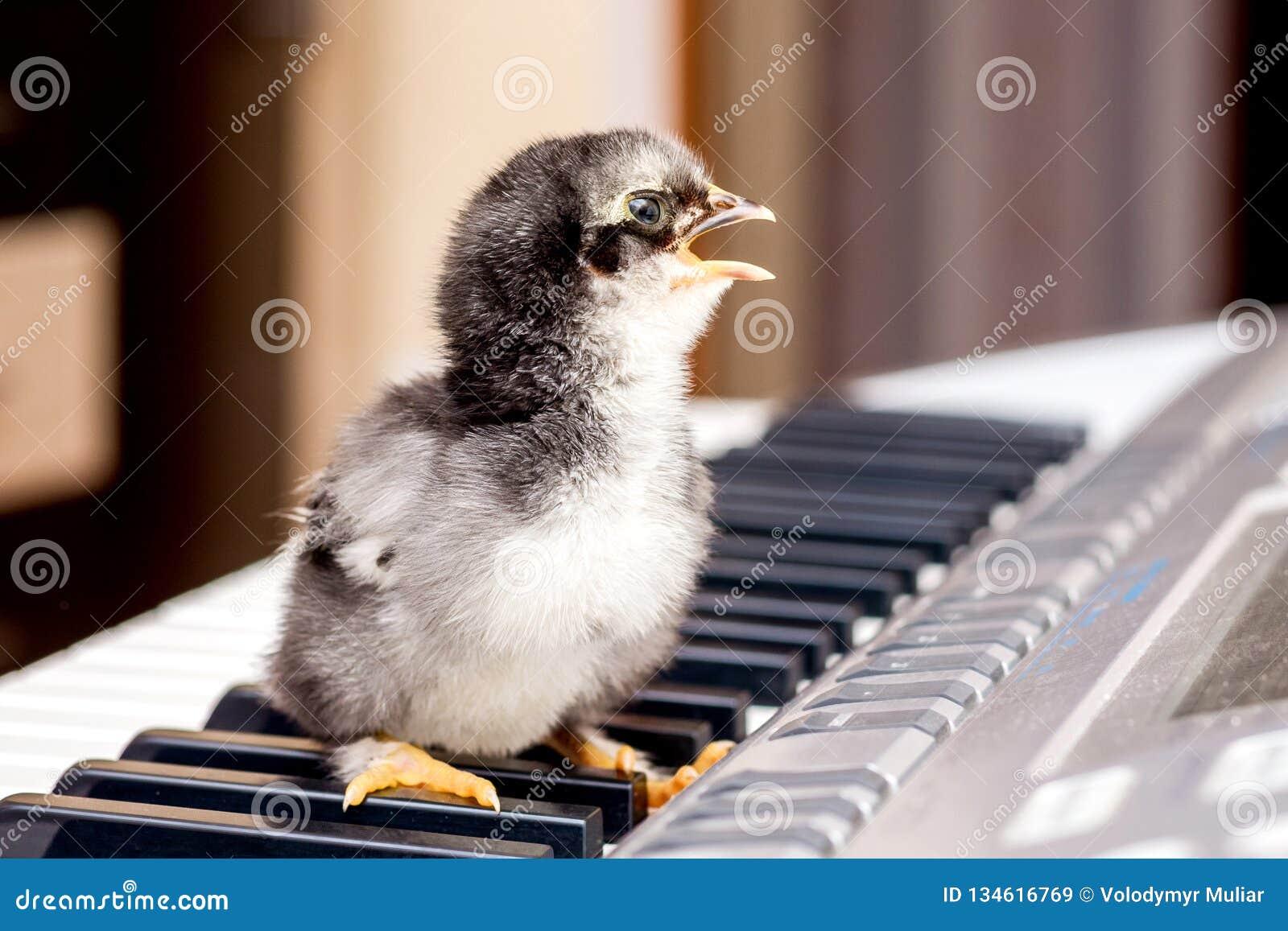 Kleine kip met een open bek op de pianosleutels Het uitvoeren van een lied De eerste stappen in music_