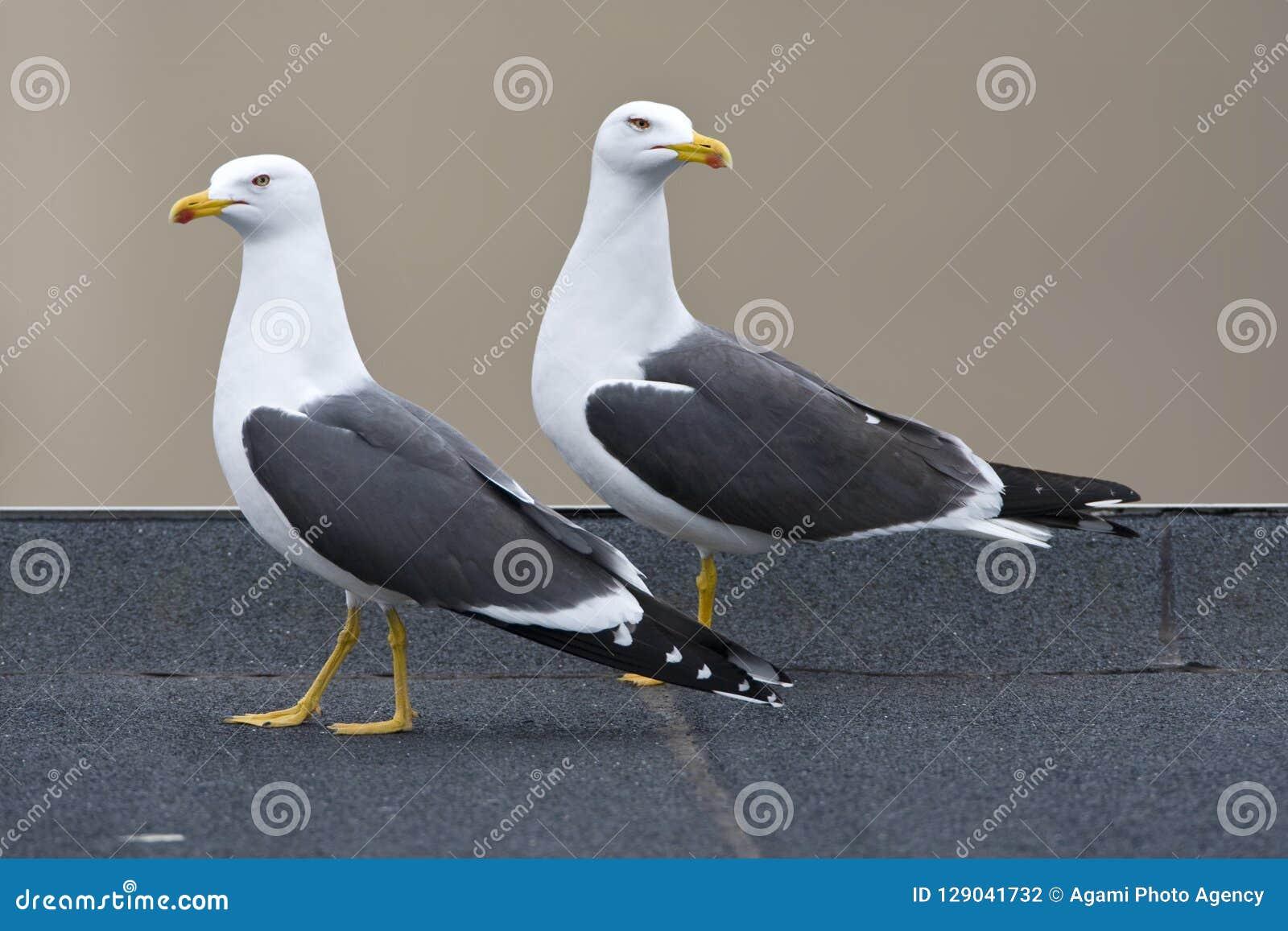 Kleine Mantelmeeuw, pouca gaivota com o dorso negro, fuscus do Larus