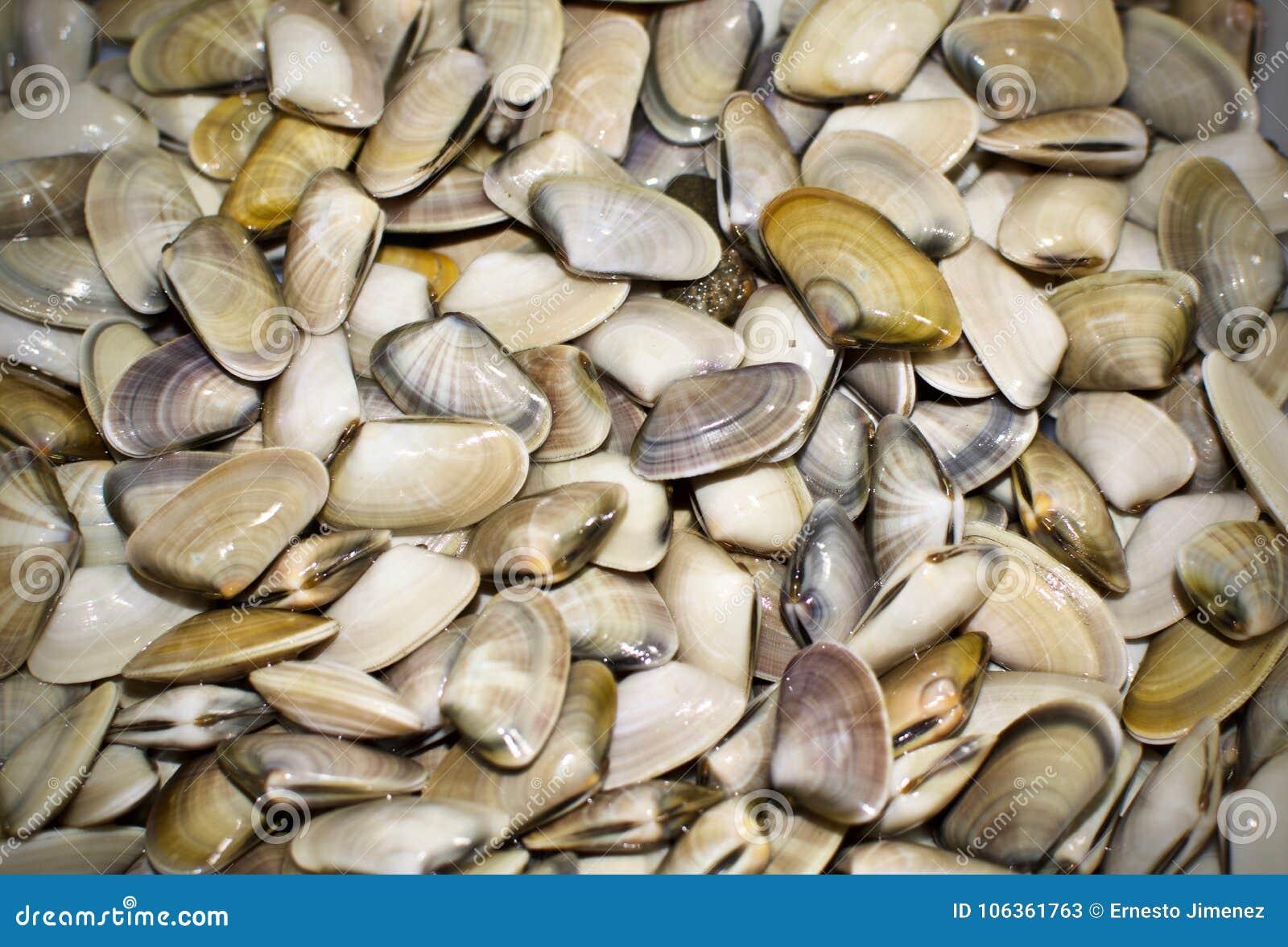 Kleine Muscheln coquinas typisch von Sanlucar de Barrameda