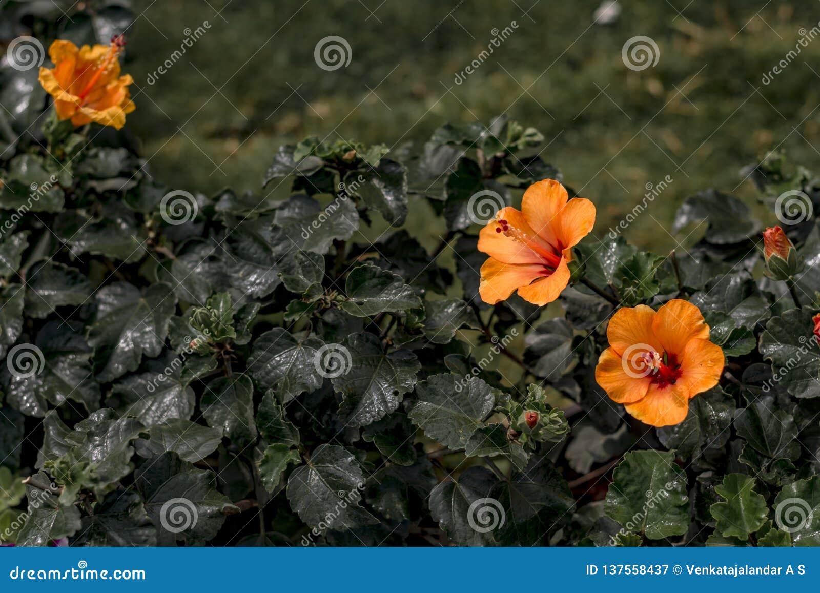 Kleine orange Hibiscus-Blume mit unscharfem Gartenhintergrund