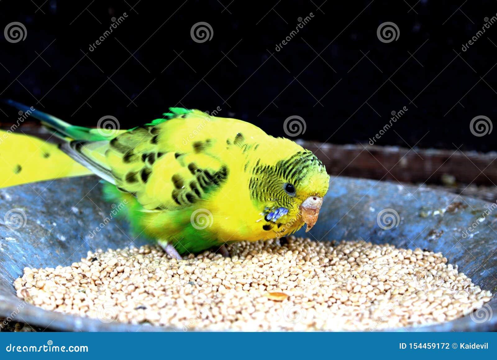 Kleine papegaai die boon eten