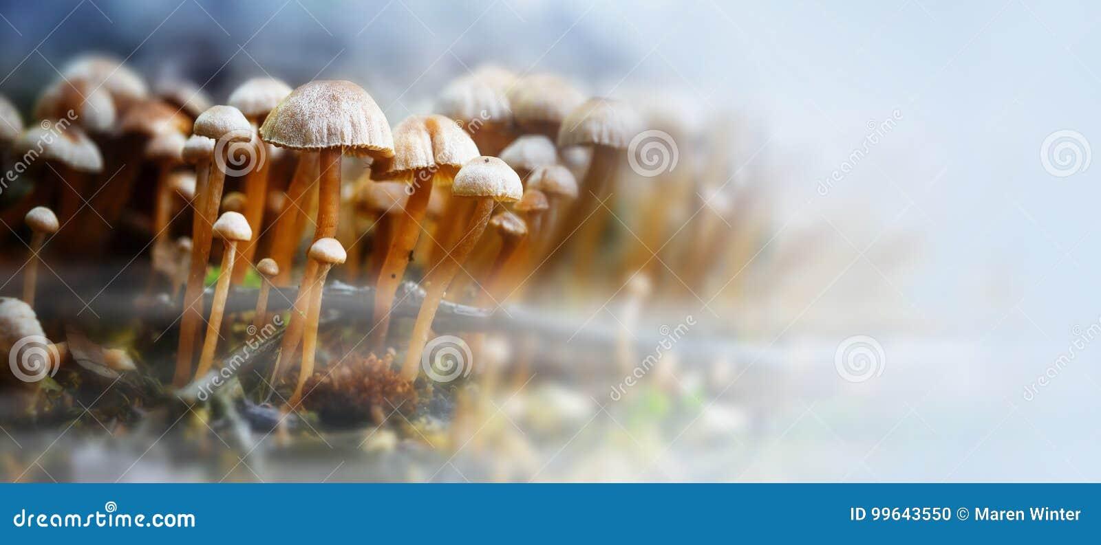 Kleine Pilze im Wald mit Herbst nebeln, Panoramaformat w ein