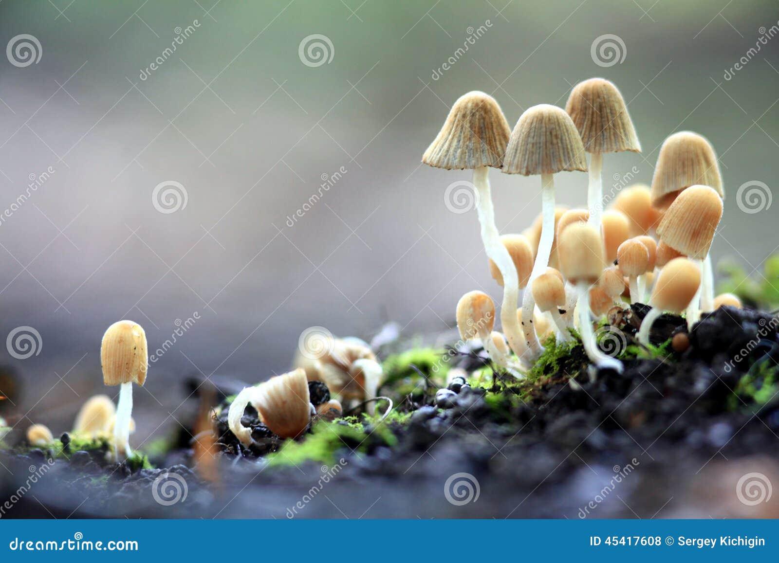 Kleine Pilzgiftpilze tot gefährlich