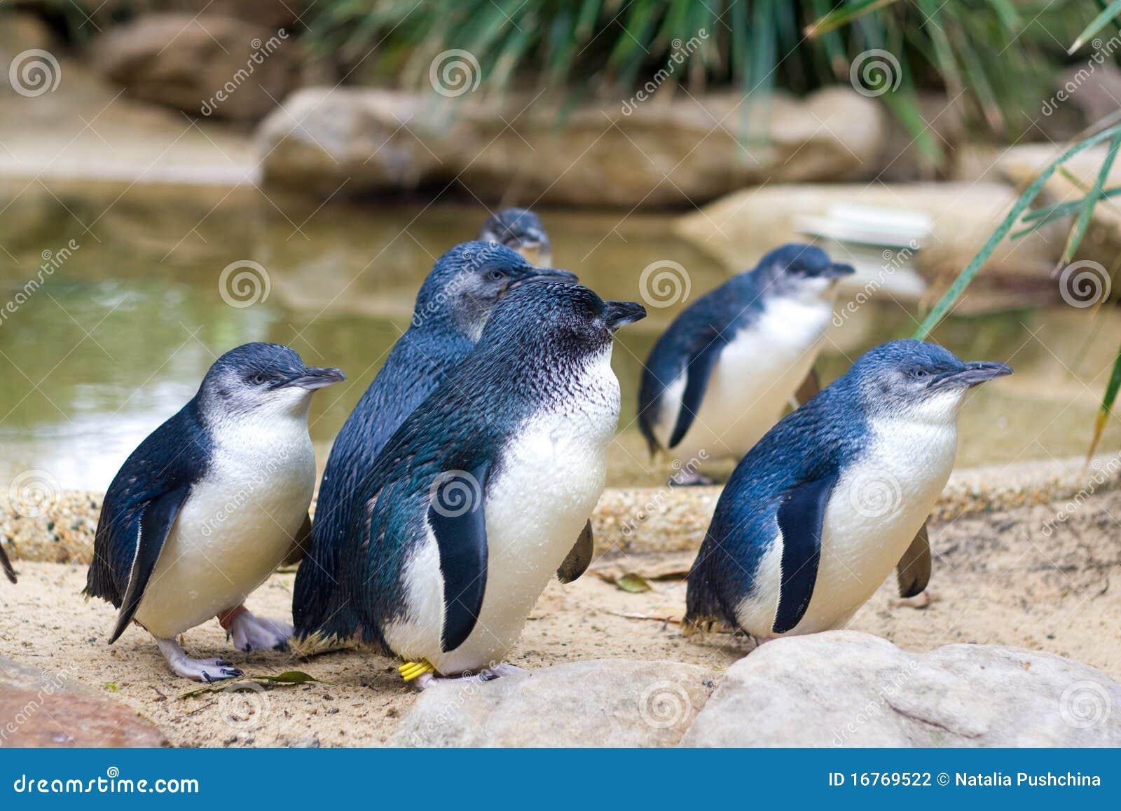 Kleine Pinguïnen, Australië