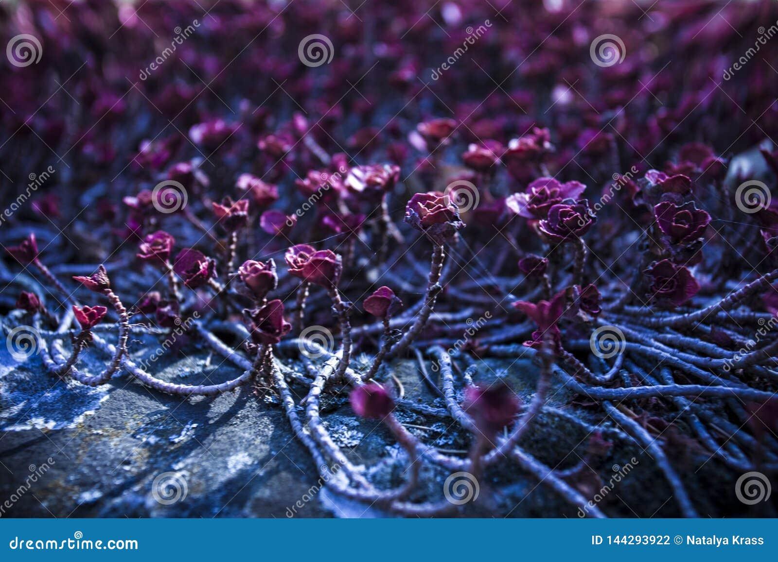 Kleine pinkfarbene Blumen, die entlang den Boden auf einem dunkelblauen Hintergrund kriechen