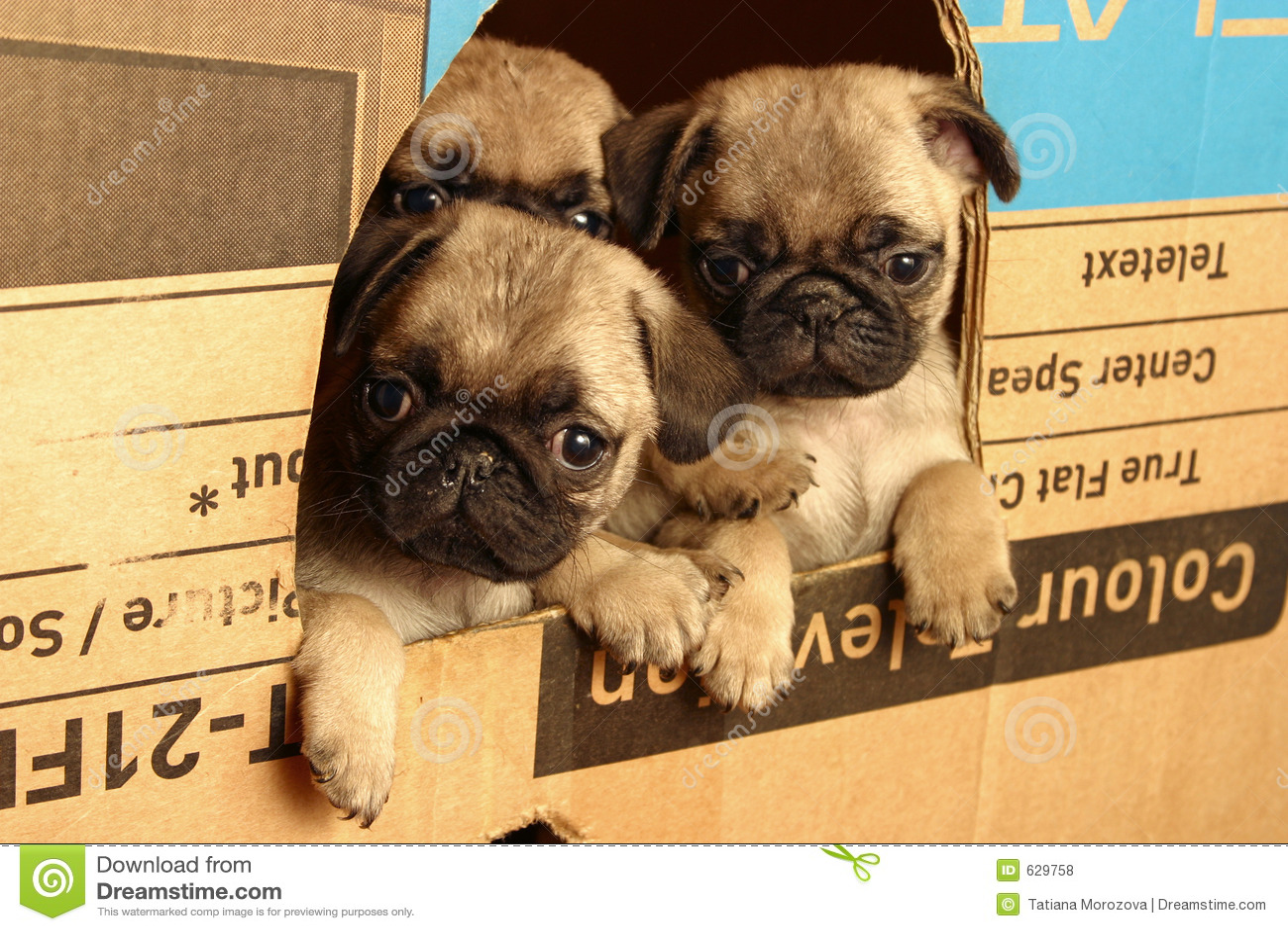 Kleine pugs