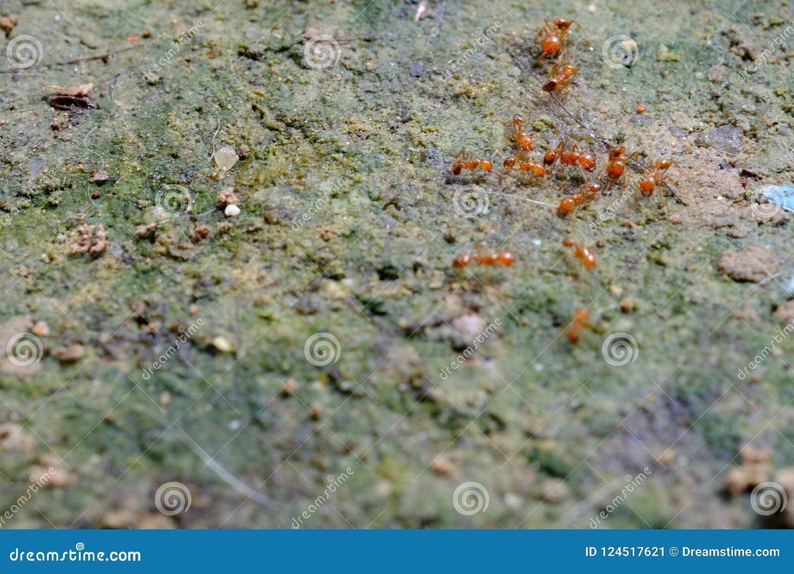Kleine rode mier die aan grond in de tuin Thailand werken