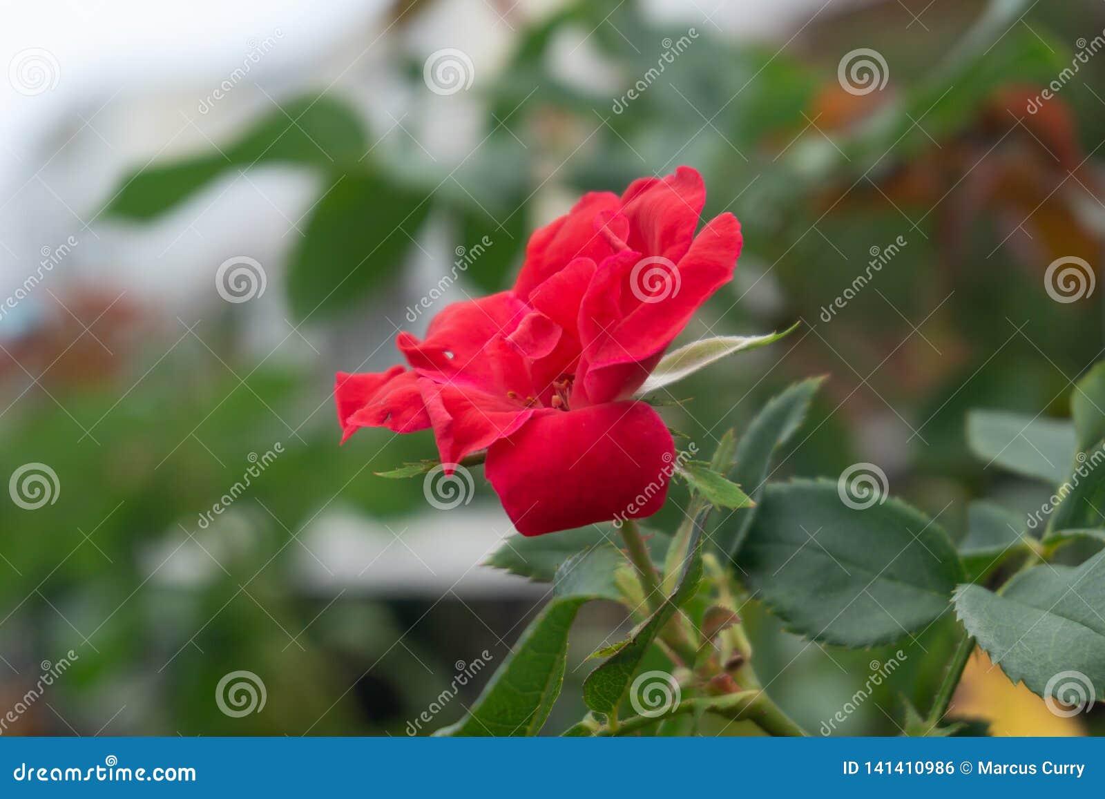 Kleine Rode Rose Full Bloom