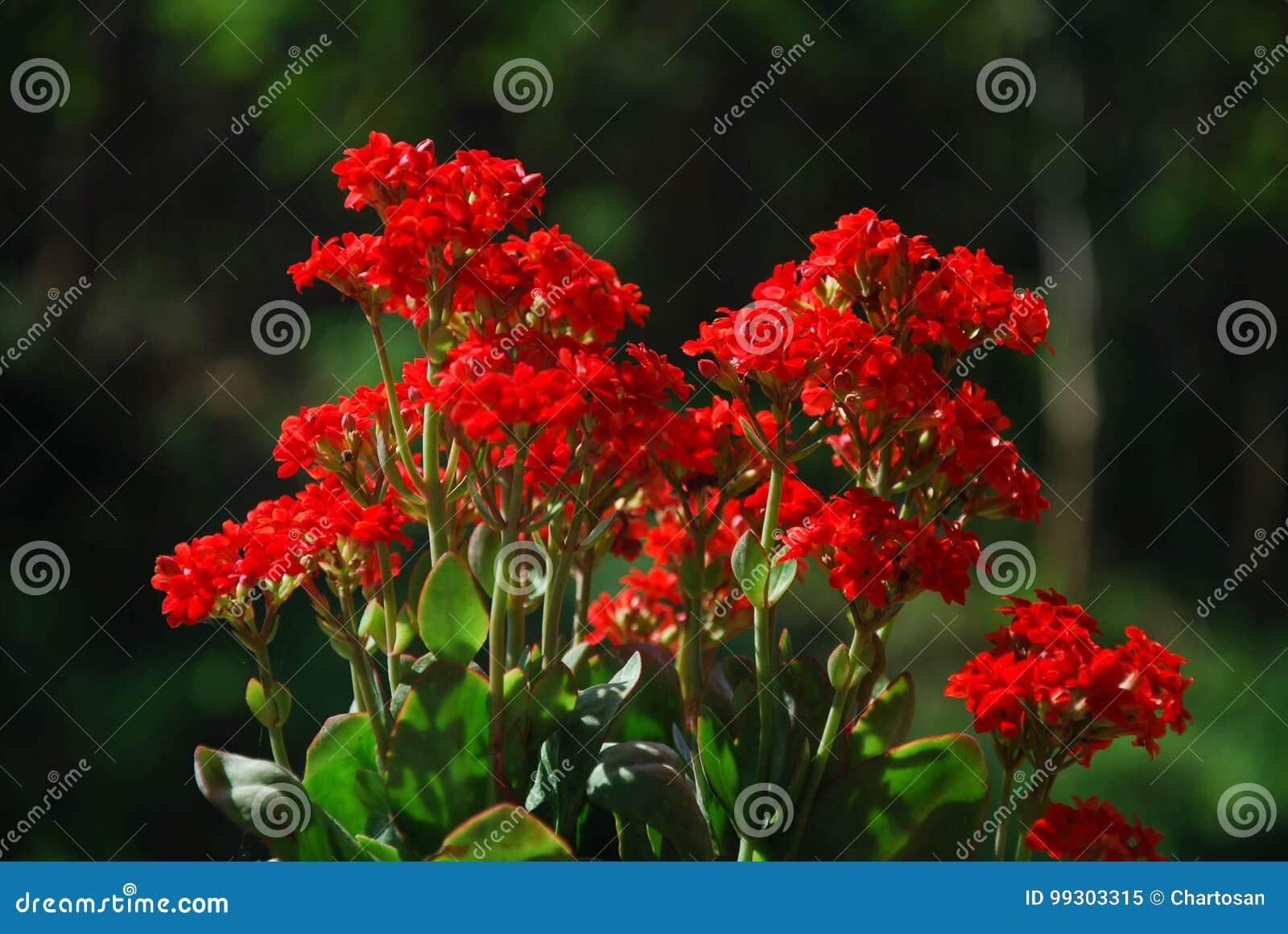 Kleine Rote Blumen, Die Auf Dem Berg Bei Doi Mae Au Kor ...