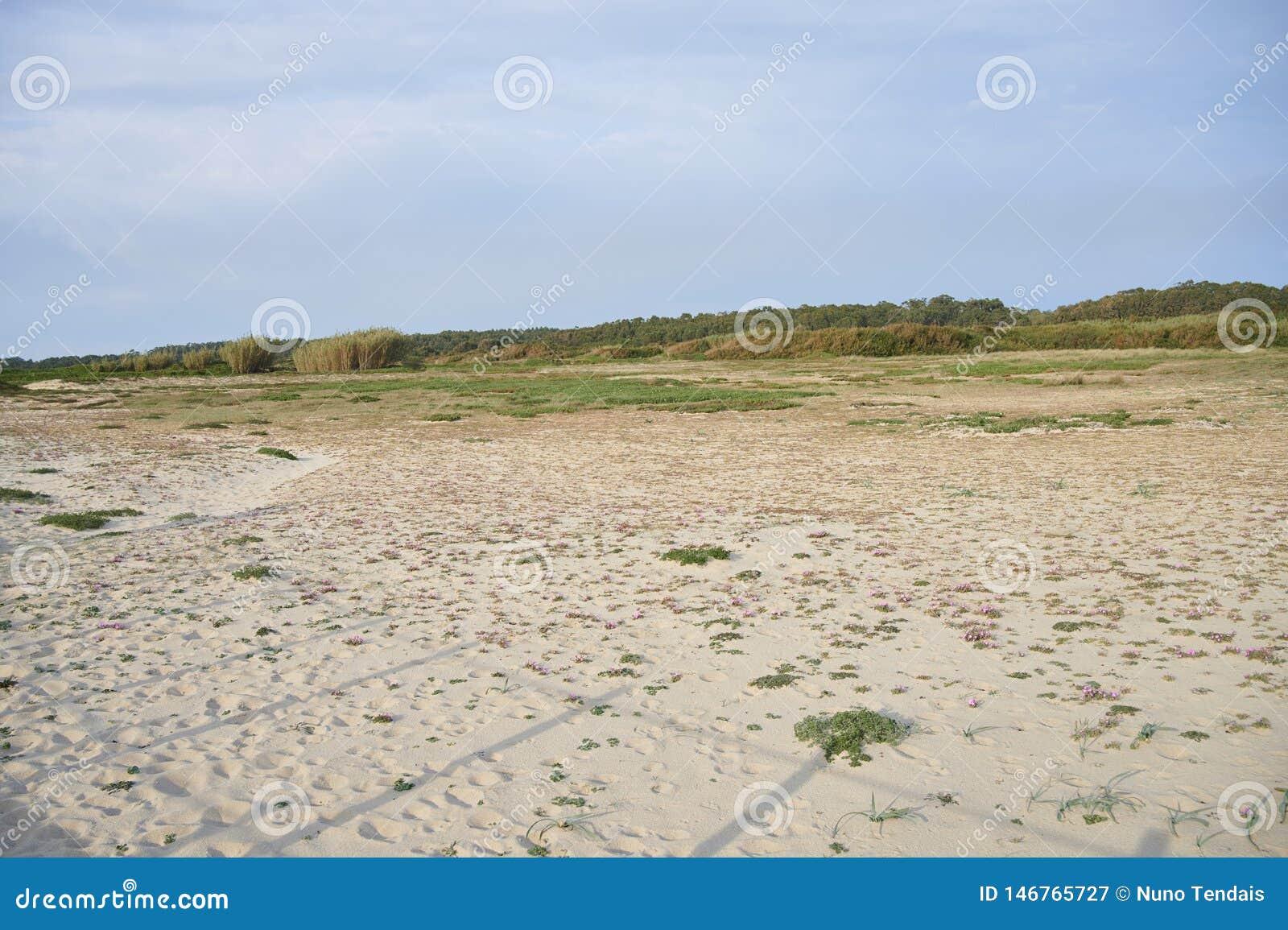 Kleine roze bloem op het zand van de duinen
