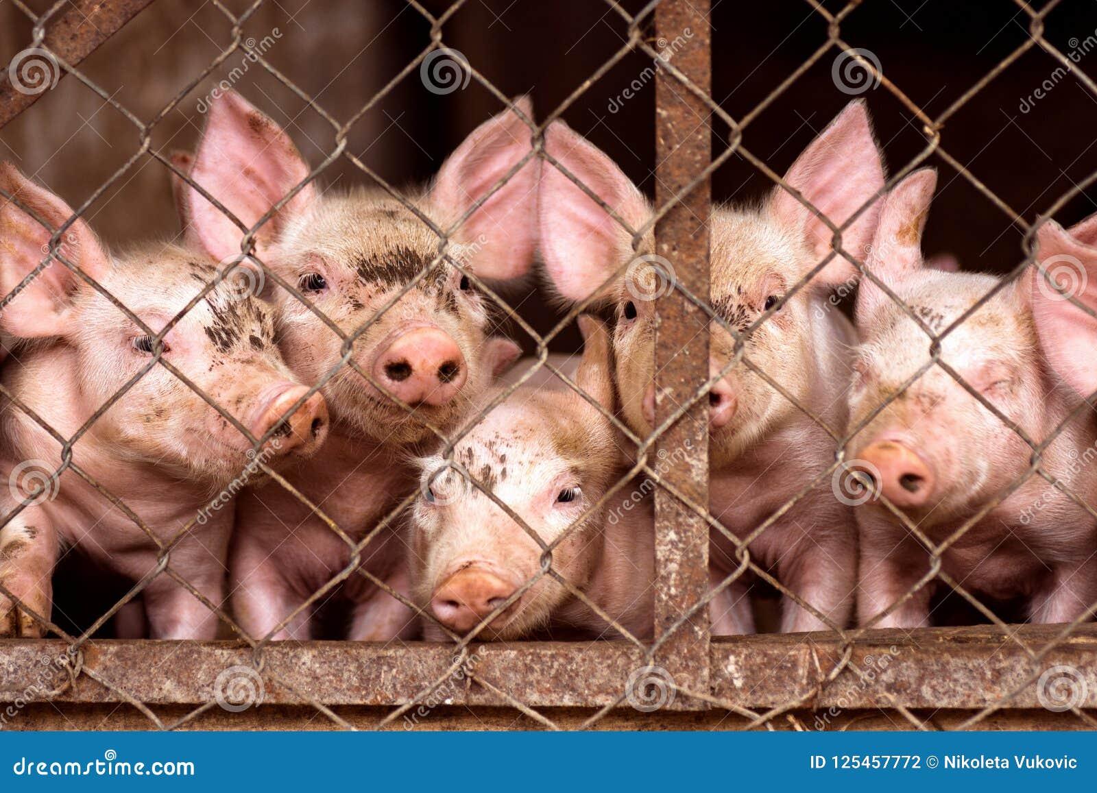 Kleine Schweine Im Schweinestall Stockfoto - Bild von