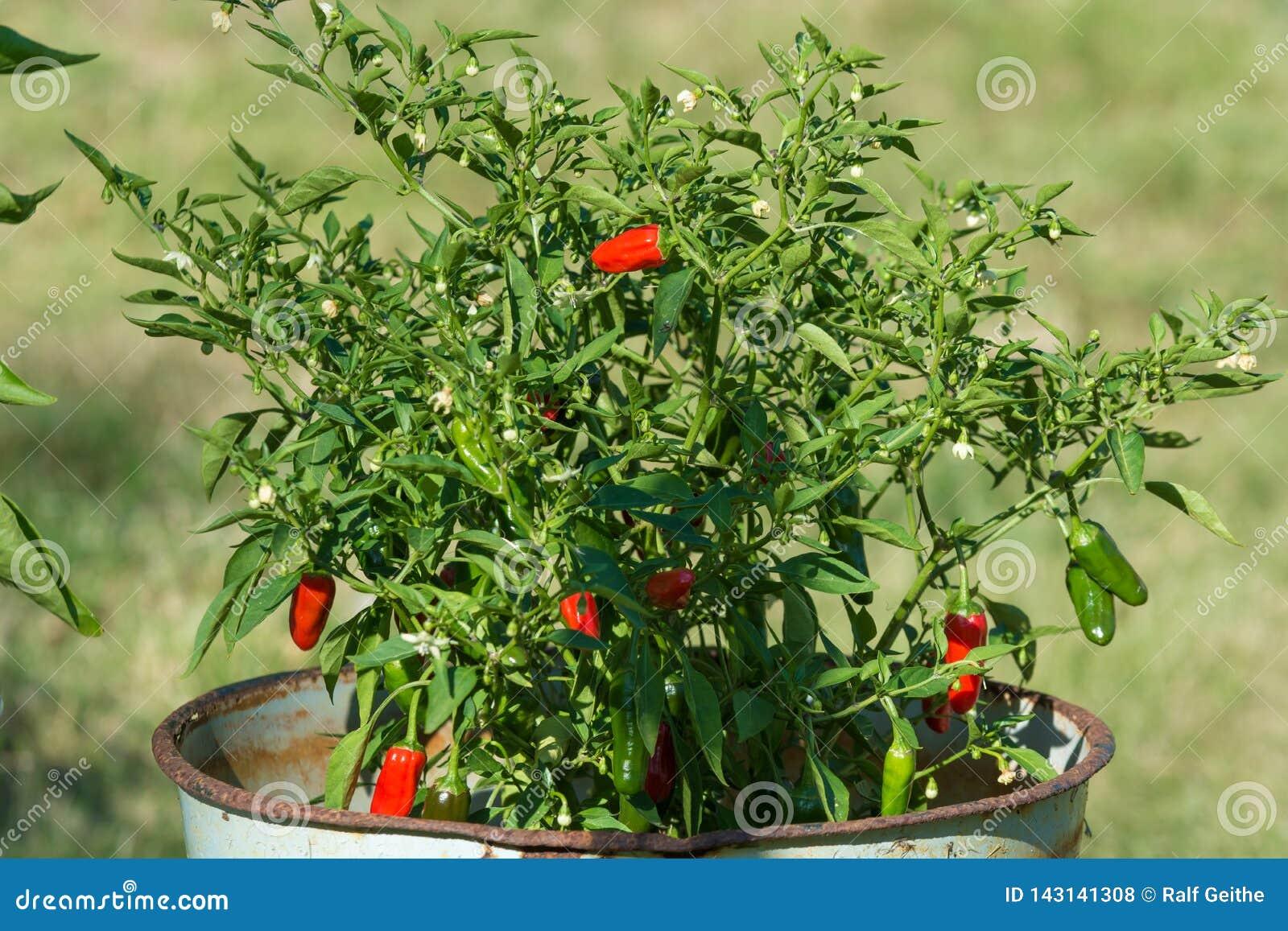 Kleine Spaanse peperpeper op een struik in de bloempot in de tuin