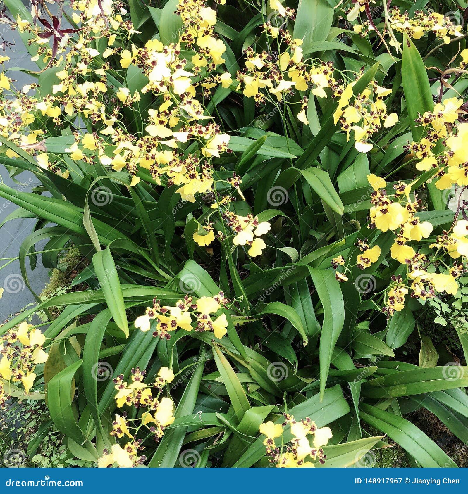 Kleine Tigerorchidee