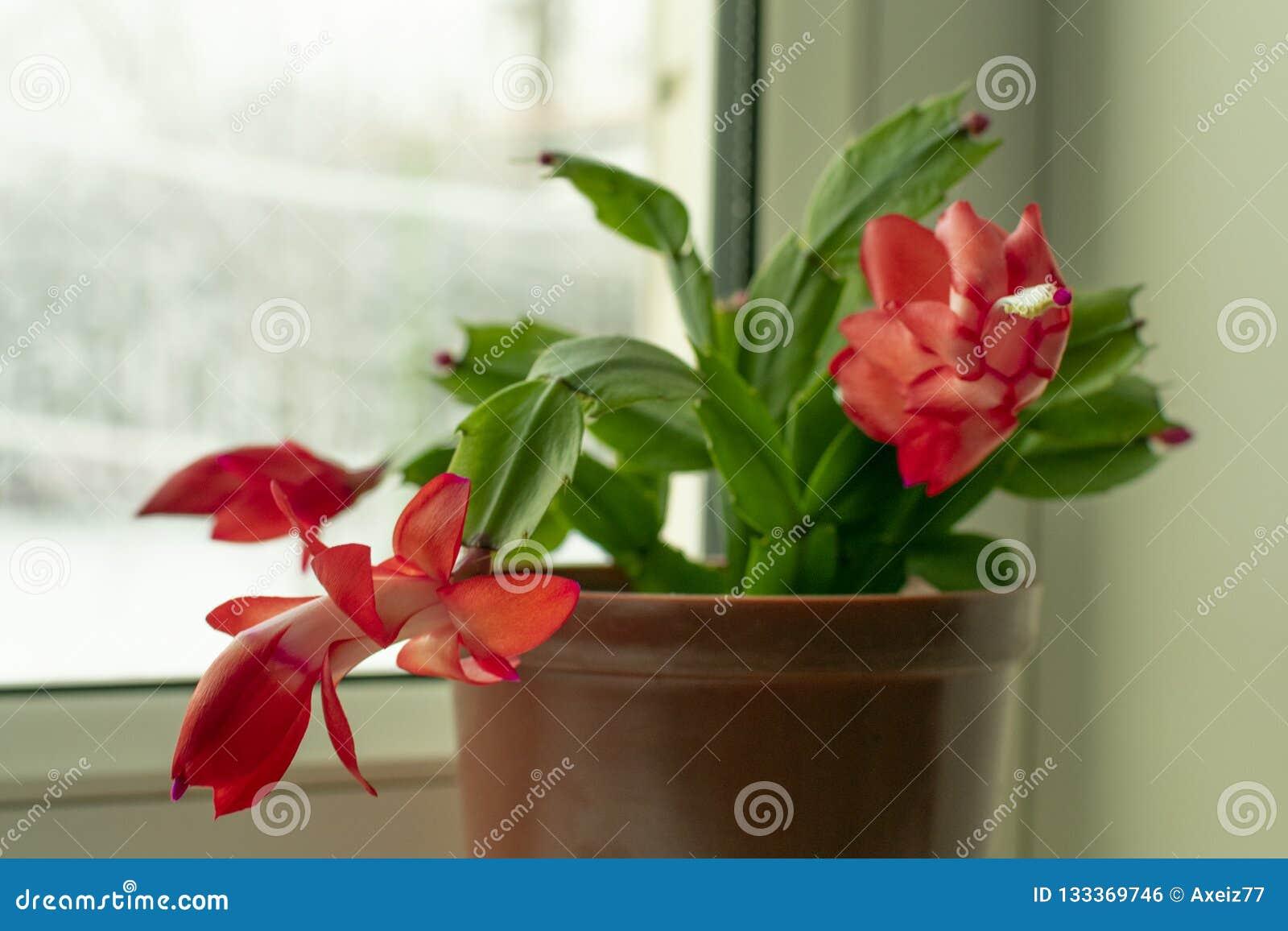 Kleine Topfpflanze, Schlumberger-Blume mit den roten Knospen