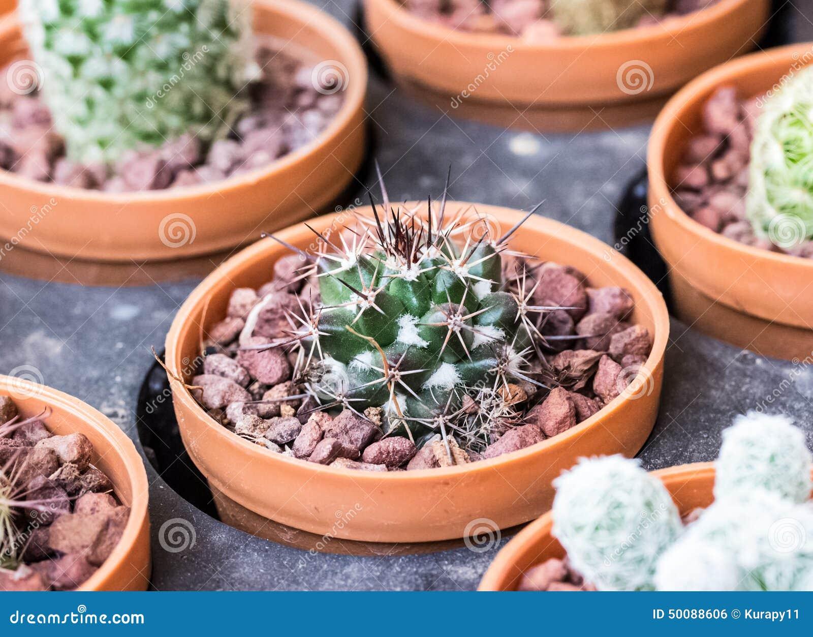 kleine verschiedene arten von kaktuspflanzen stockfoto bild von grow eingemacht 50088606. Black Bedroom Furniture Sets. Home Design Ideas