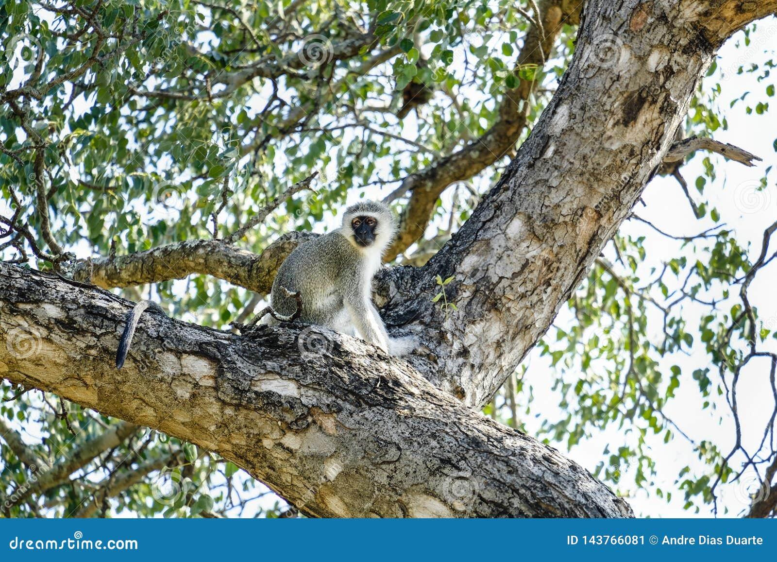 Kleine vervetaap bovenop een boom
