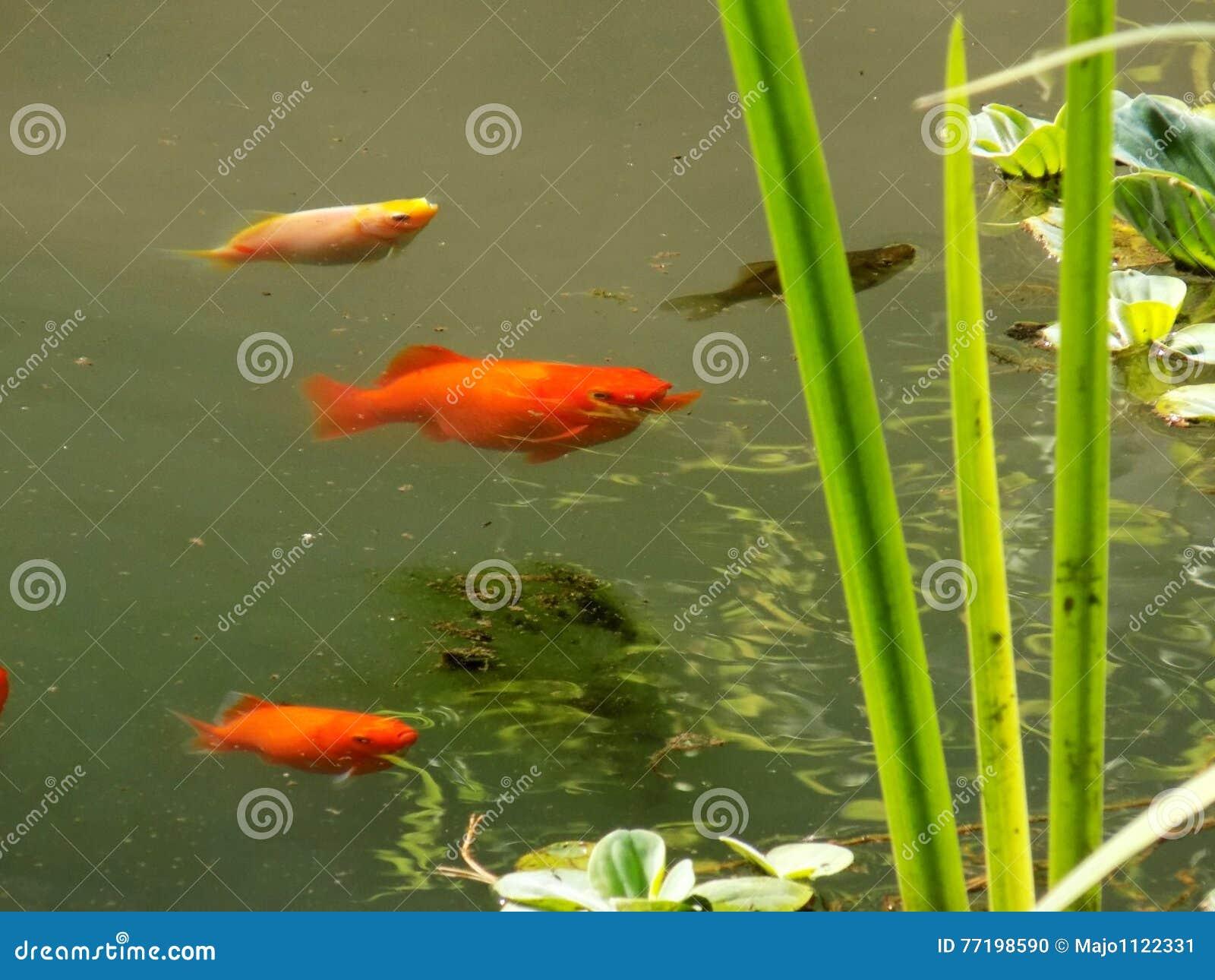 Vissen In Vijver : Kleine vissen in vijver stock foto afbeelding bestaande uit