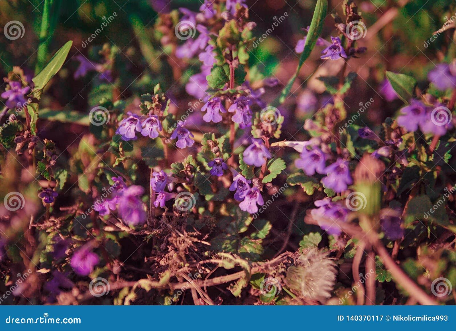 Kleine wilde purpere bloemen op het gebied