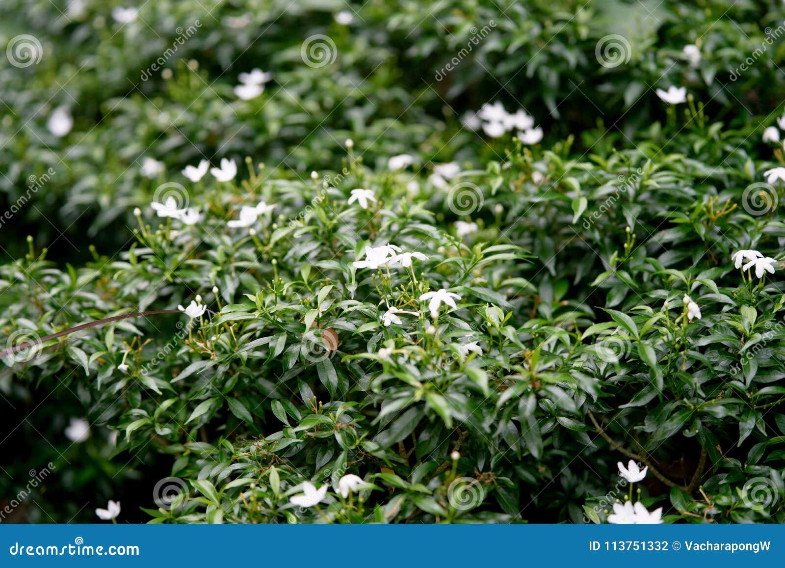Struiken Met Bloemen Voor In De Tuin.Kleine Witte Bloemen Op Struik In Tuin Stock Foto