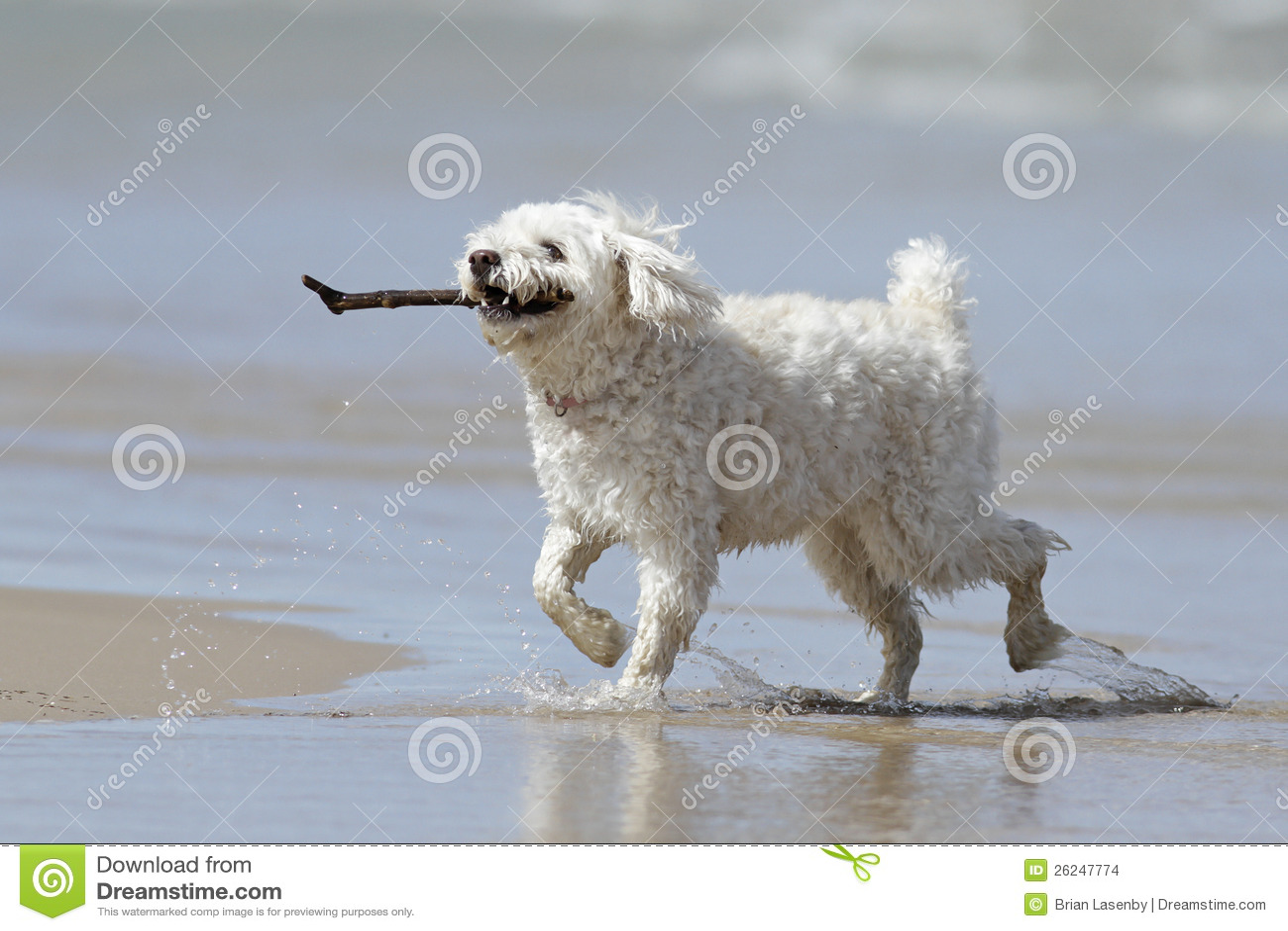 Kleine Witte Hond die een Stok op het Strand draagt