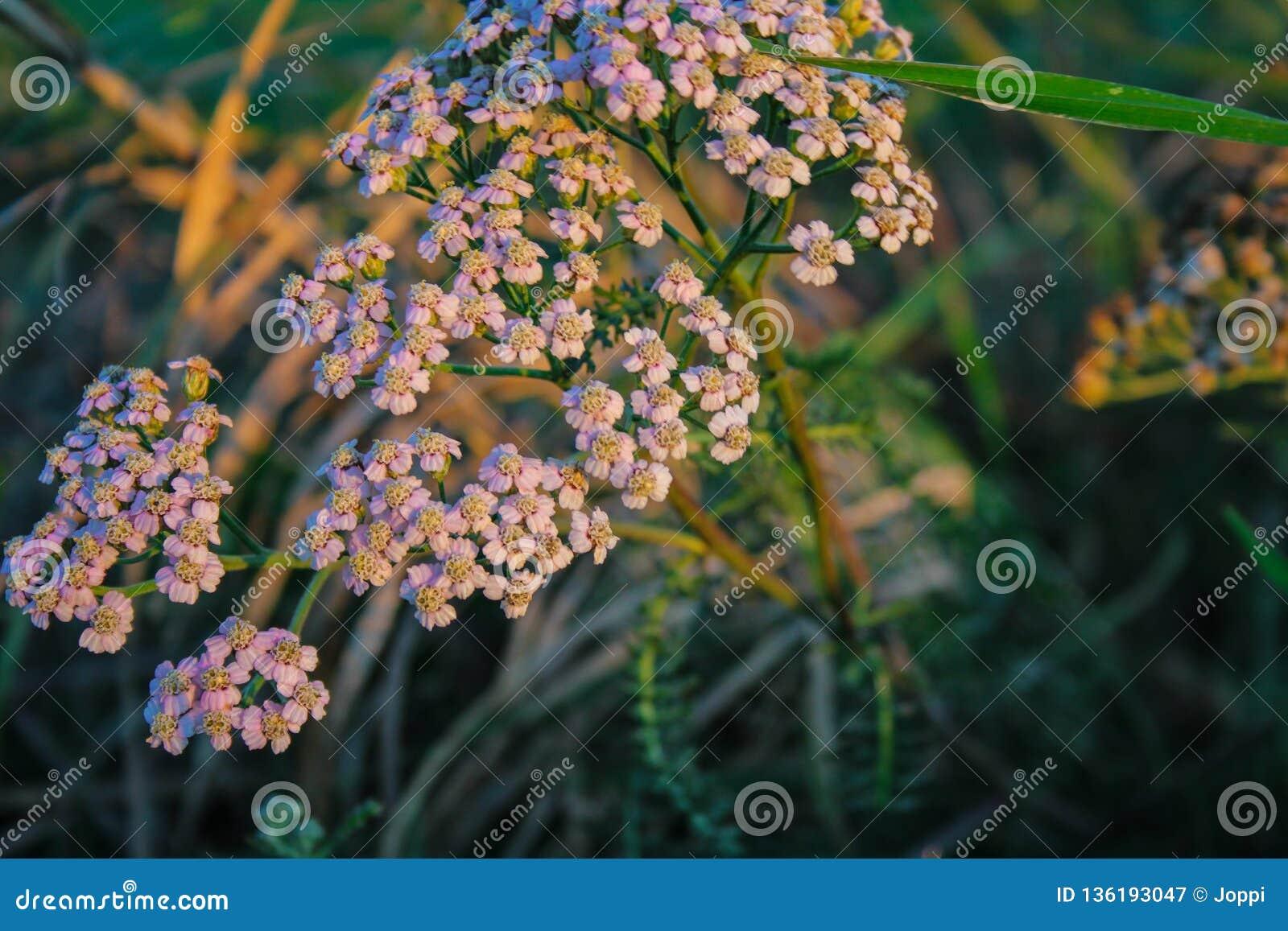 Kleine witte wilde bloemen die op gebied in Nieuw Zeeland groeien