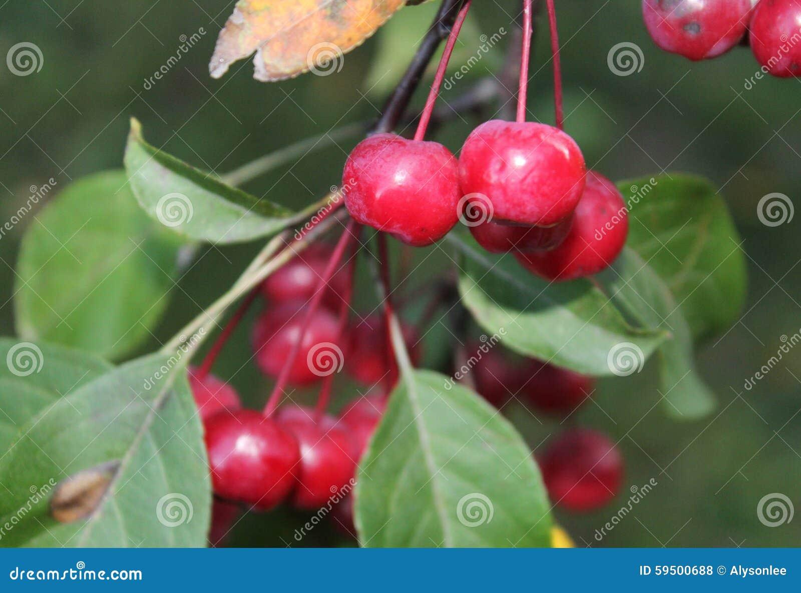 kleiner apfelbaum im fall stockfoto bild von genommen 59500688. Black Bedroom Furniture Sets. Home Design Ideas