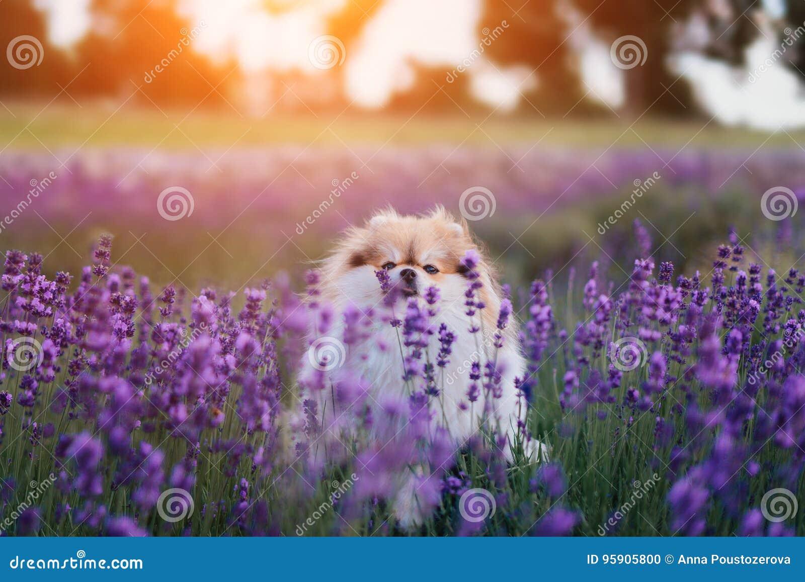 Kleiner flaumiger pomeranian Hund in einem heißen Sommer mit Lavendelfeld