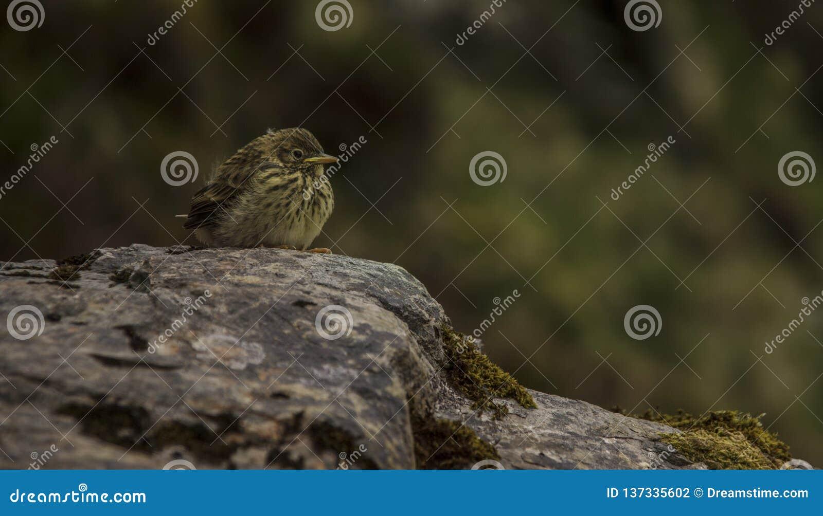 Kleiner Gebirgsvogel witting auf einem Felsen