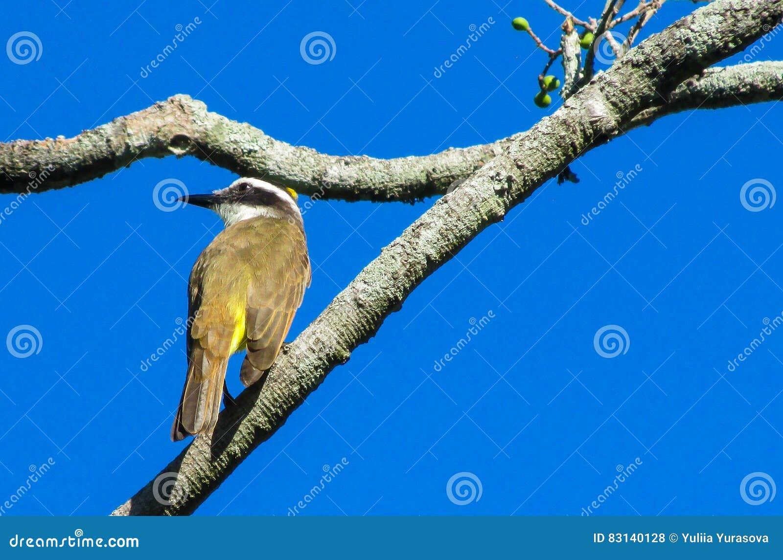 kleiner gelber vogel auf dem baum stockfoto bild von garten vogelkunde 83140128. Black Bedroom Furniture Sets. Home Design Ideas